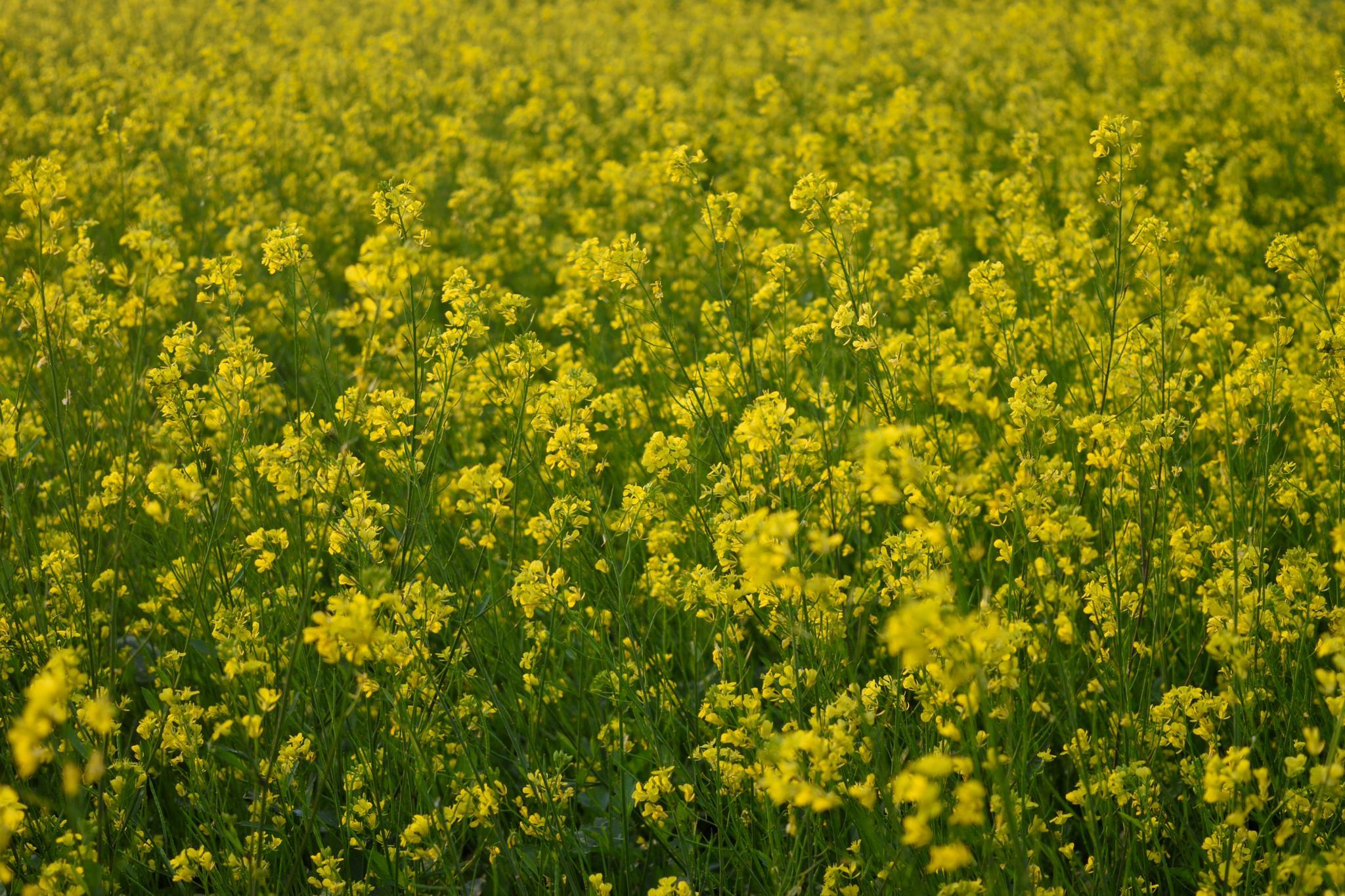 Yellow winter ... by Joydip Ghosh