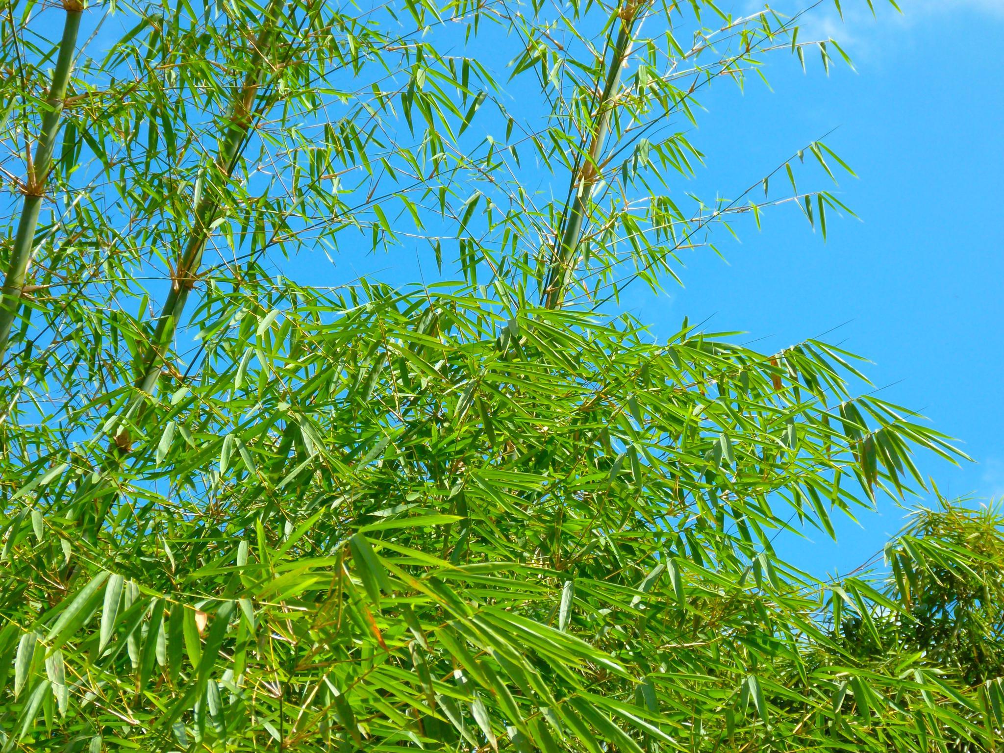 Photo in Landscape #shine #sun #blue #sky #green #bamboo