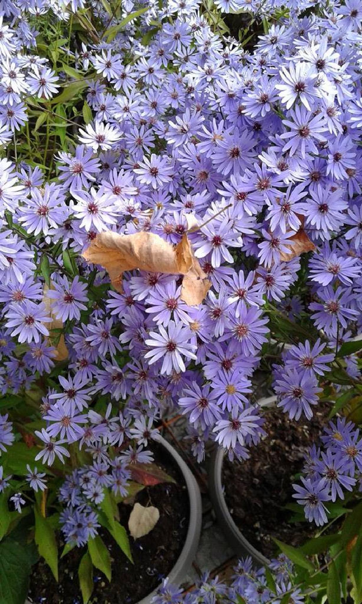 aster by olori.fiorella