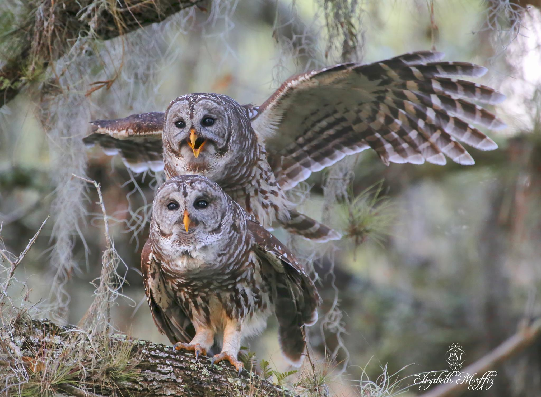 Photo in Animal #barred owls #owls #florida #copulating #birds