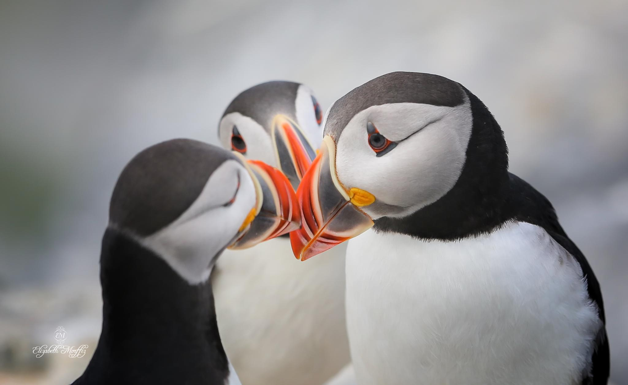 Photo in Animal #puffins #atlantic #maine #birds