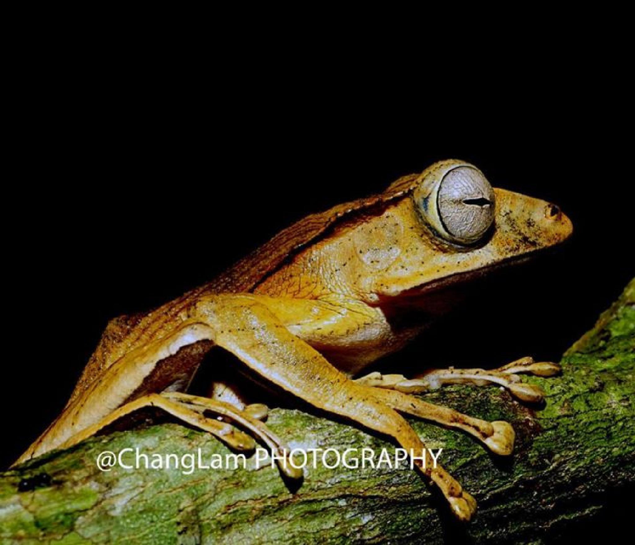 Photo in Macro #frog #kubah national park #amphibian #sony a7r #macro #changlam photography #nature