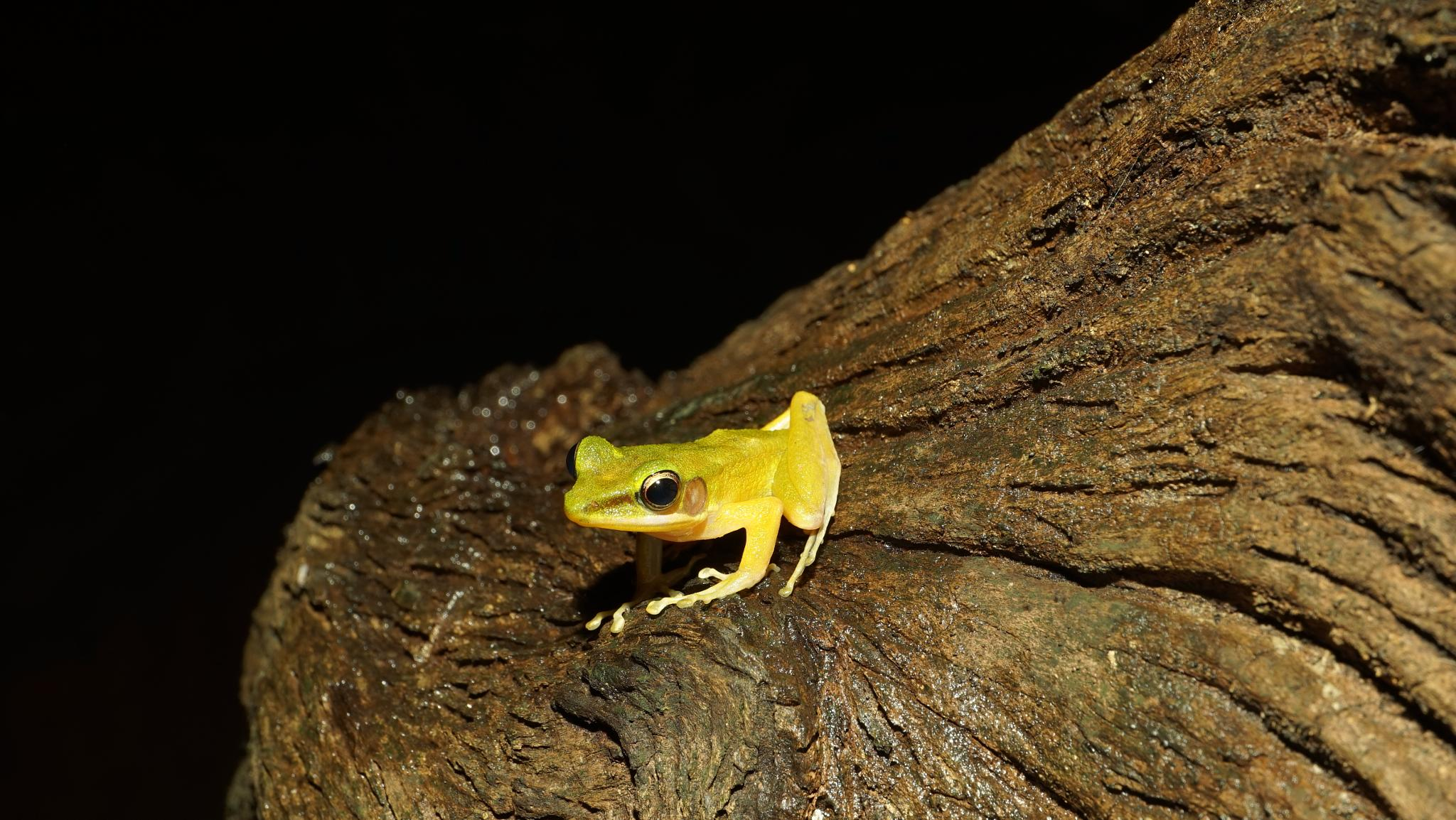 Photo in Random #amphibian #kubah national park #sony a7r #touit 50mm2.8 #sarawak #malaysia #borneo #frog #changlam photography