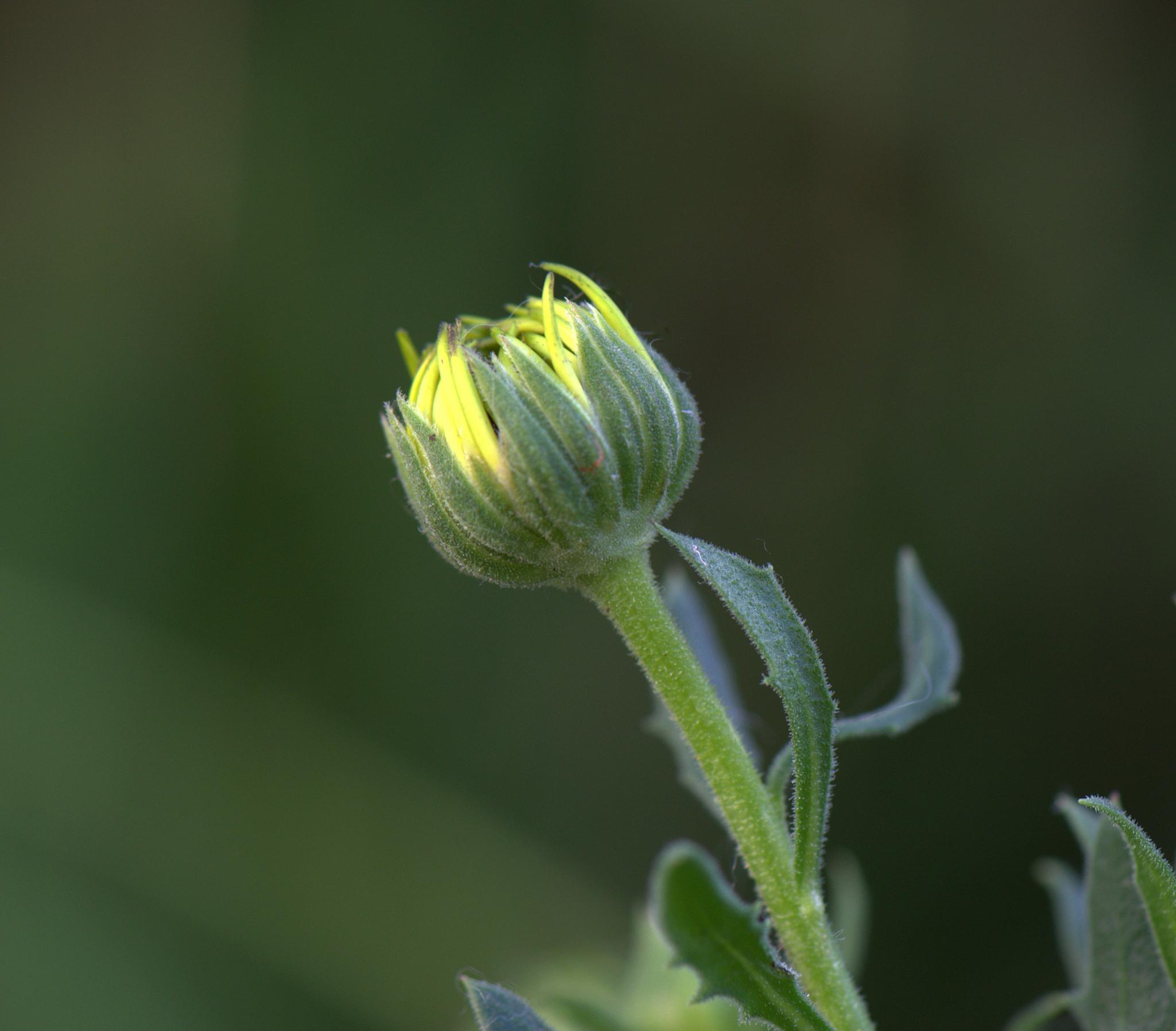 Flower Bud by LindaFenton