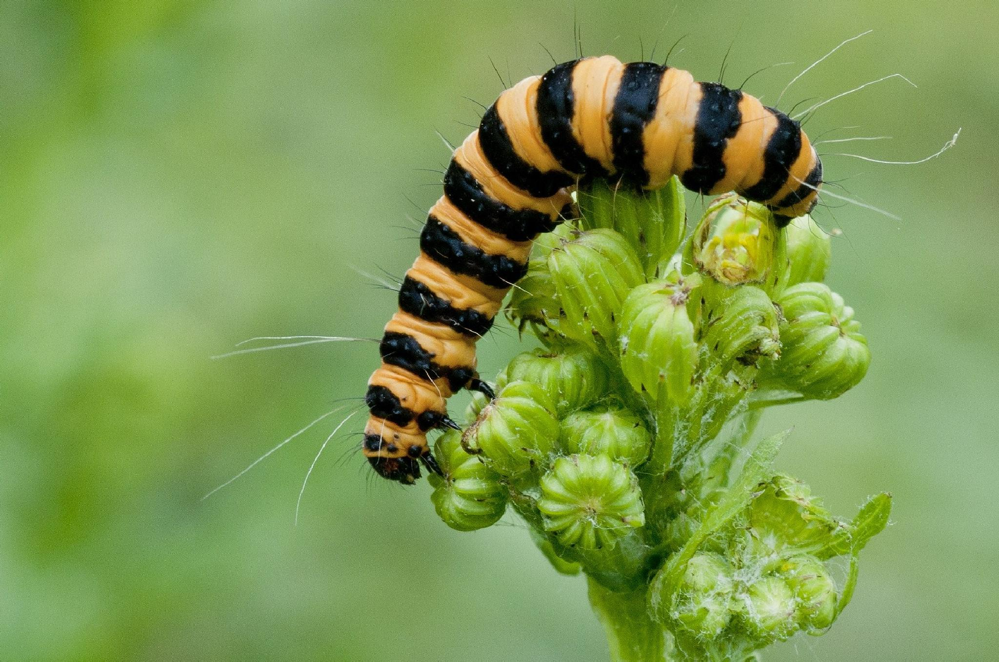 When I grow up I want to be a cinnabar moth by cakey.white