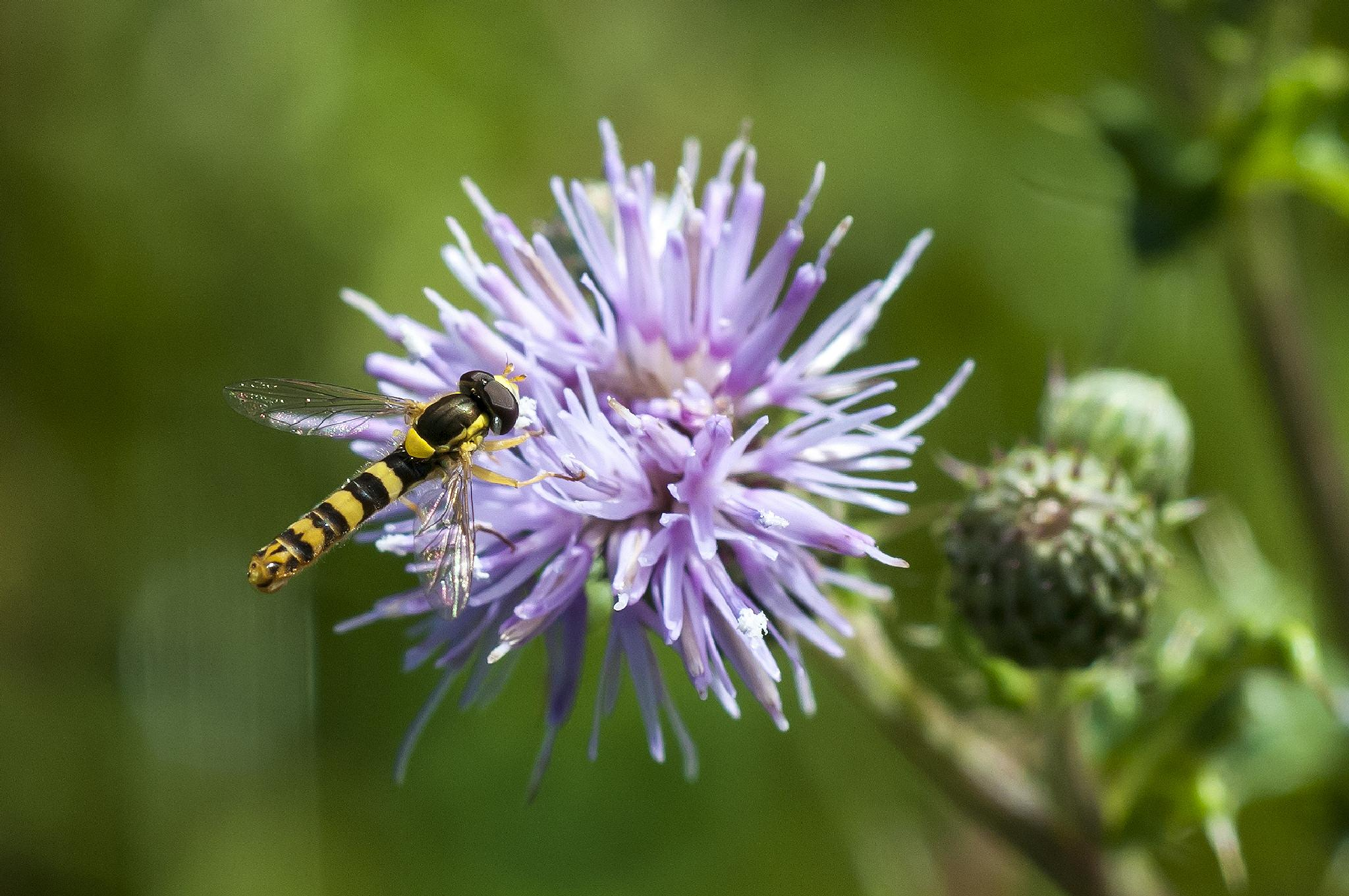Hoverfly by cakey.white