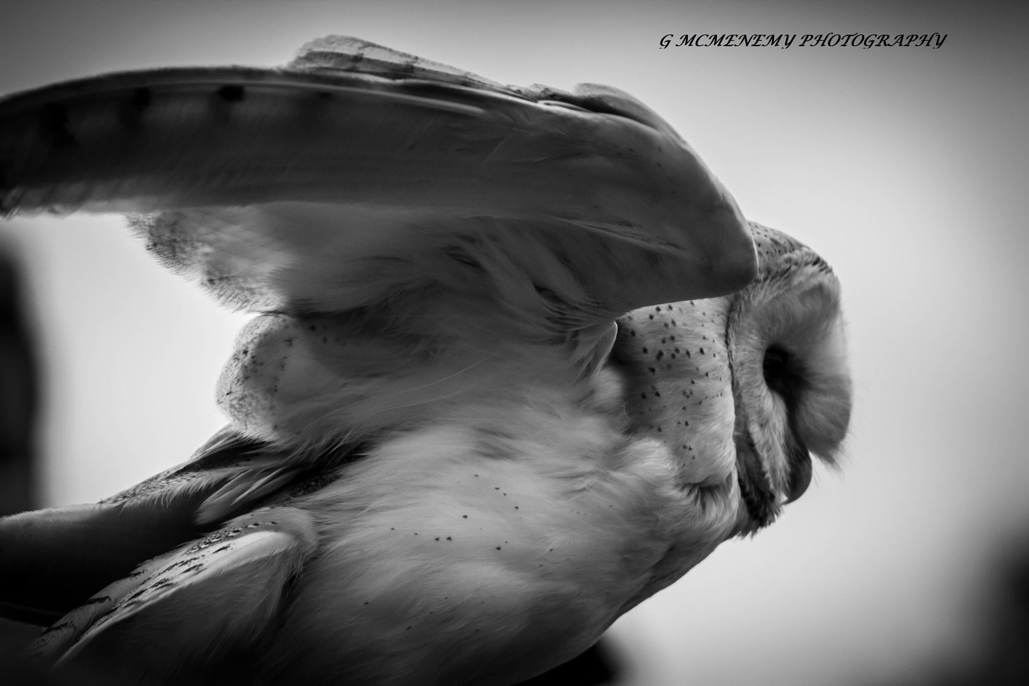 Barn Owl by george.mcmenemy.7