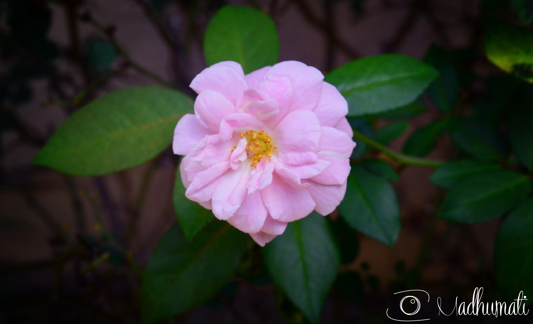 Photo in Nature #rosa #flor #flower