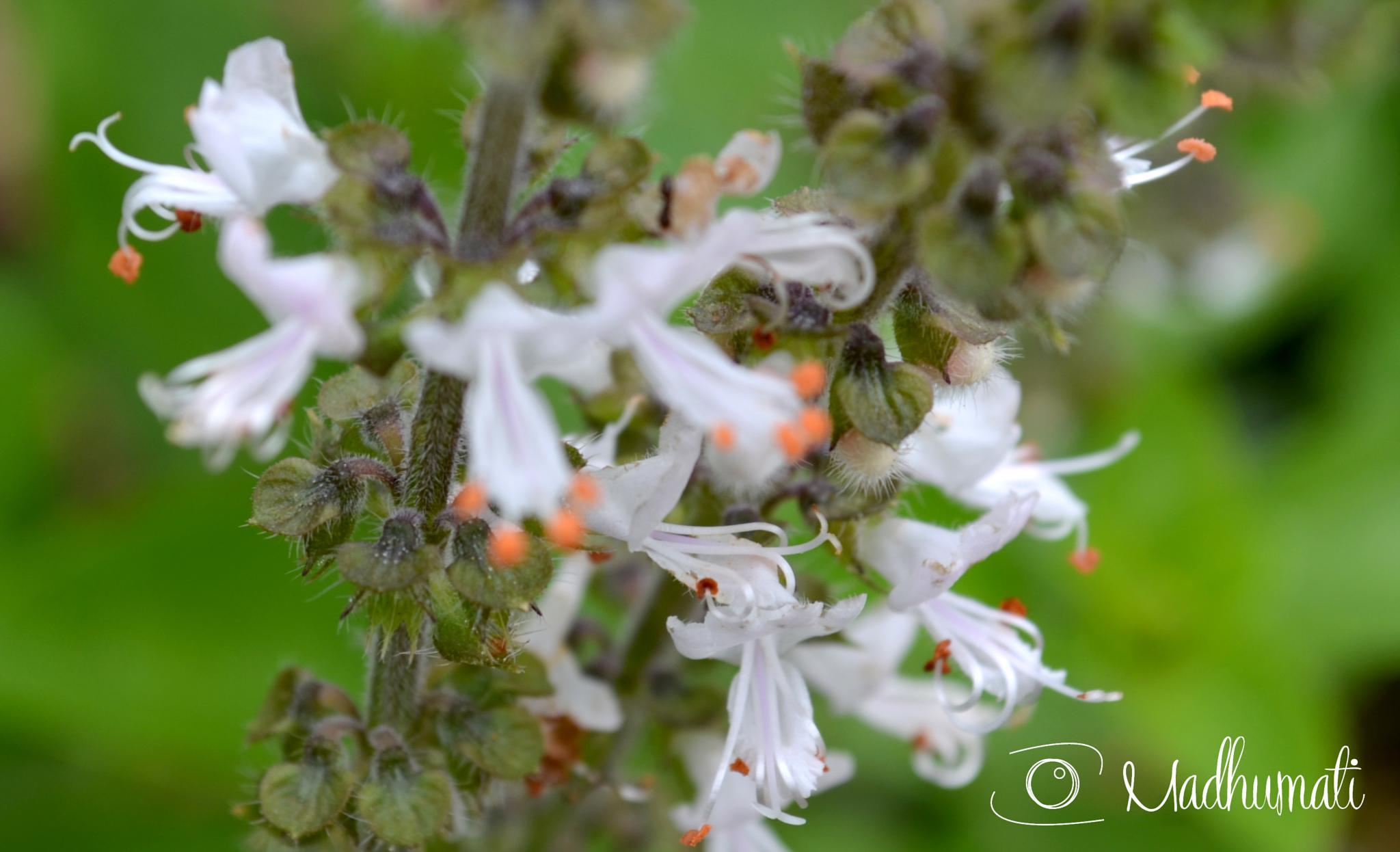 Photo in Nature #manjericão #flor de manjericão #flores #flor