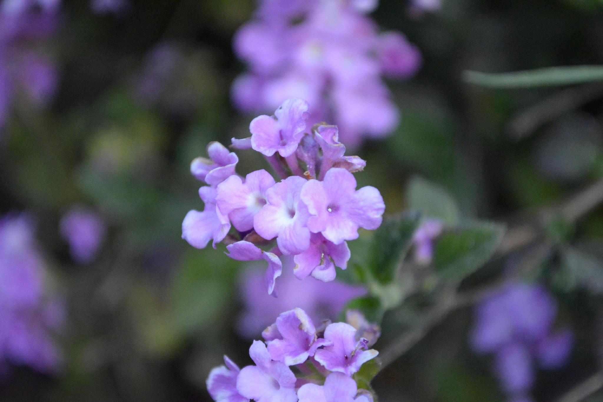 flowers by pitu.velarde
