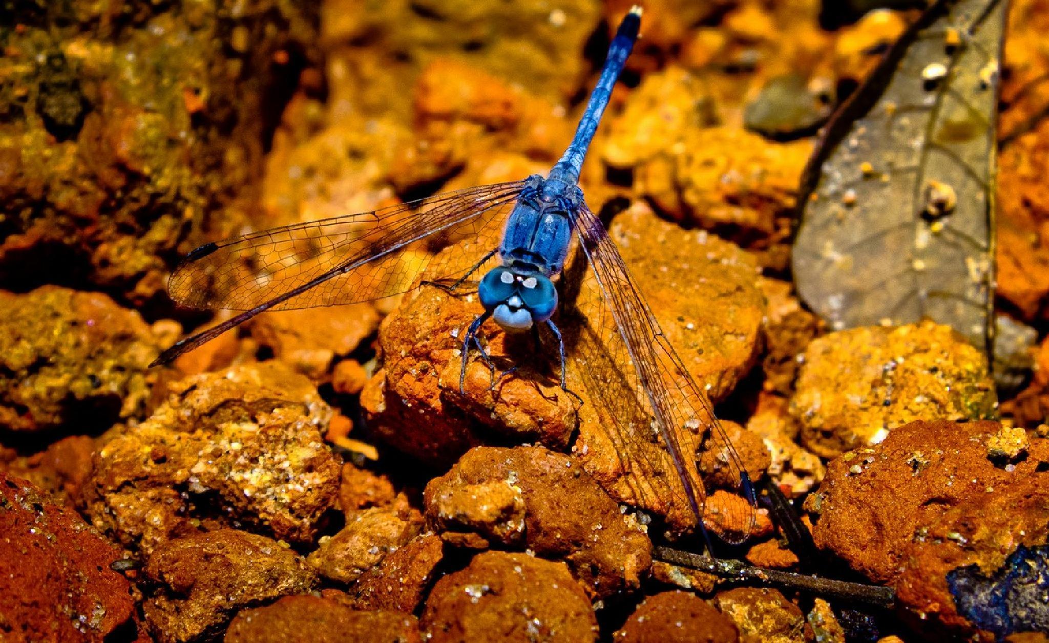 Dragonfly  by Harismaran Dutta