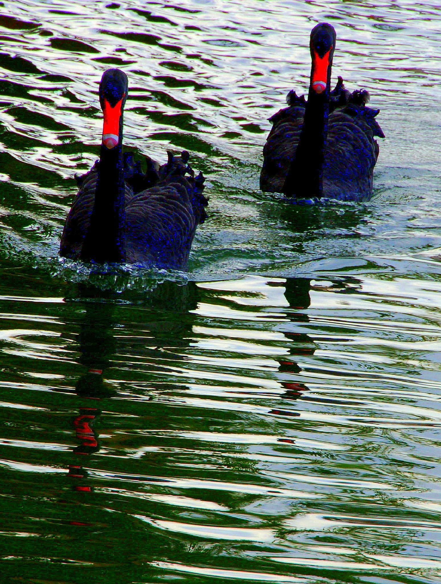 Black Swans #24 by mpross1
