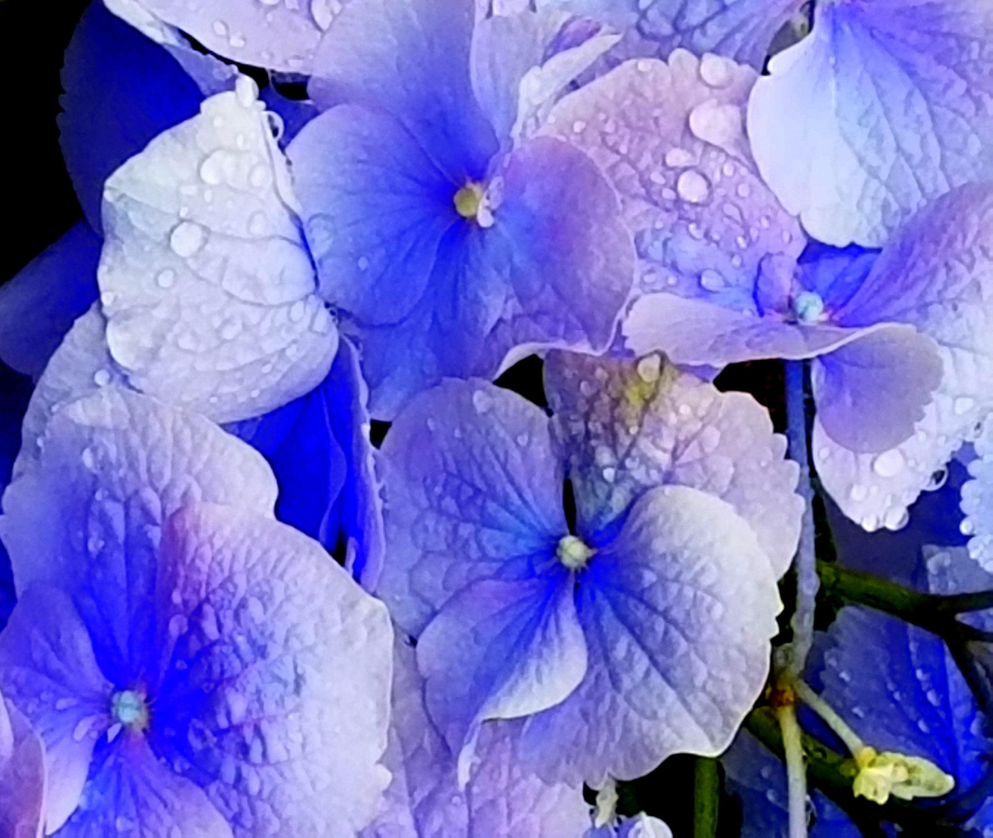 Blue Pettles by mpross1