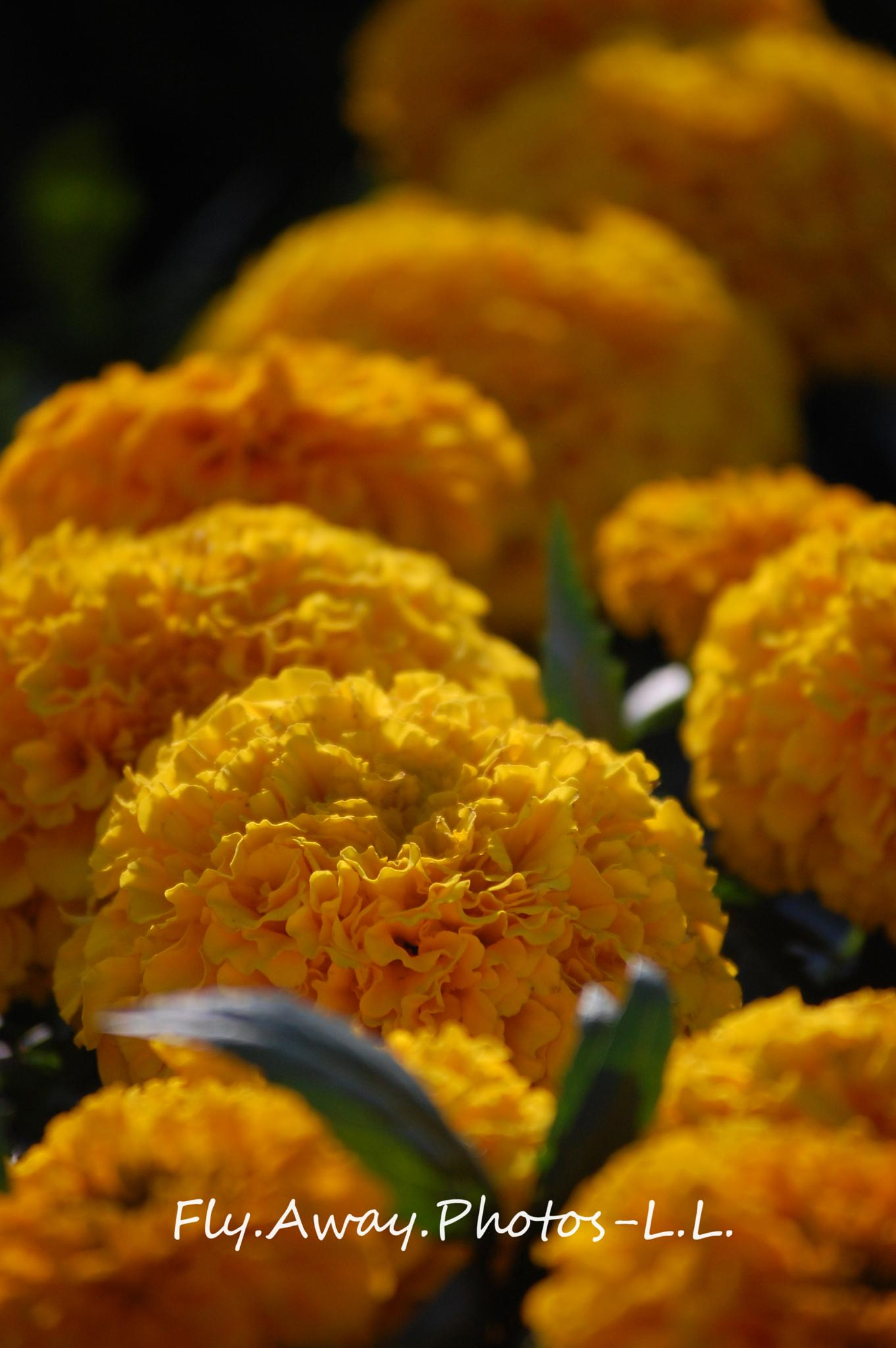 Photo in Nature #marigolds #flowers