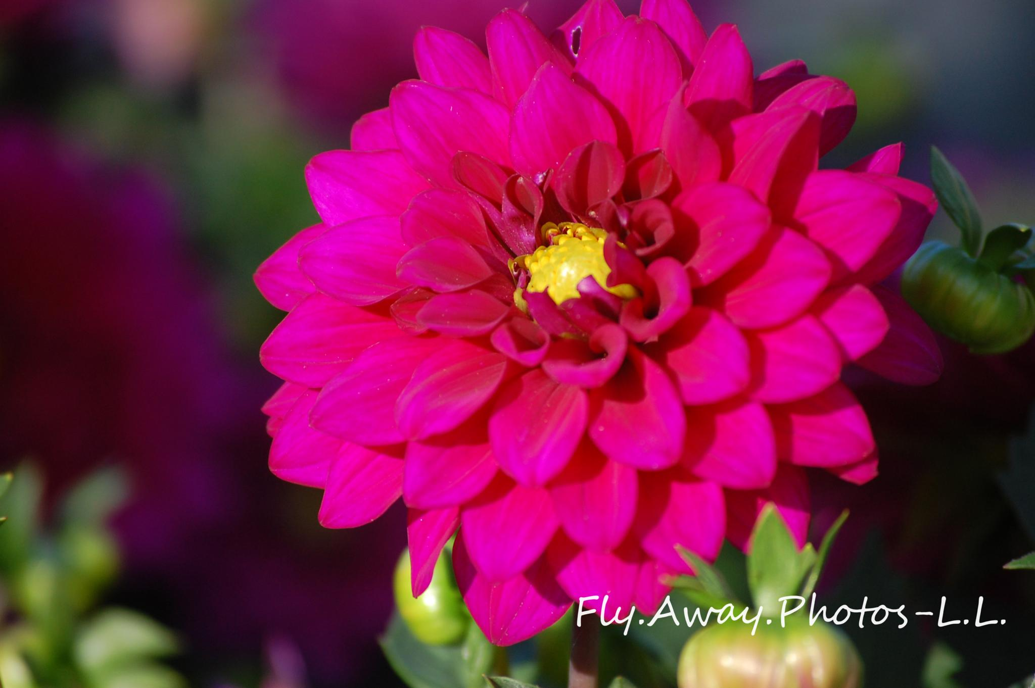 Photo in Nature #dahlia #single flower #floral