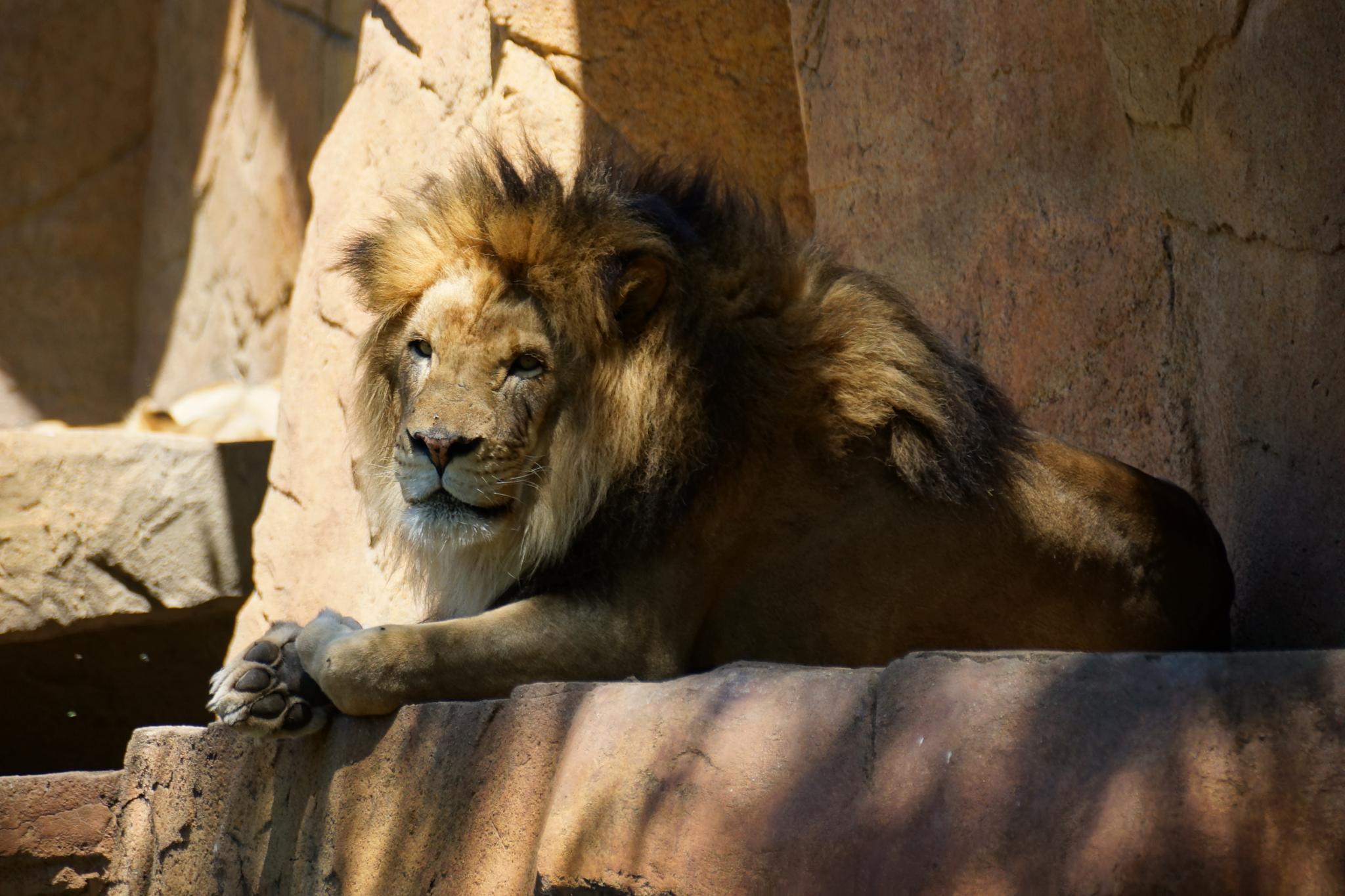 Photo in Animal #lion #african feline #brookfield zoo