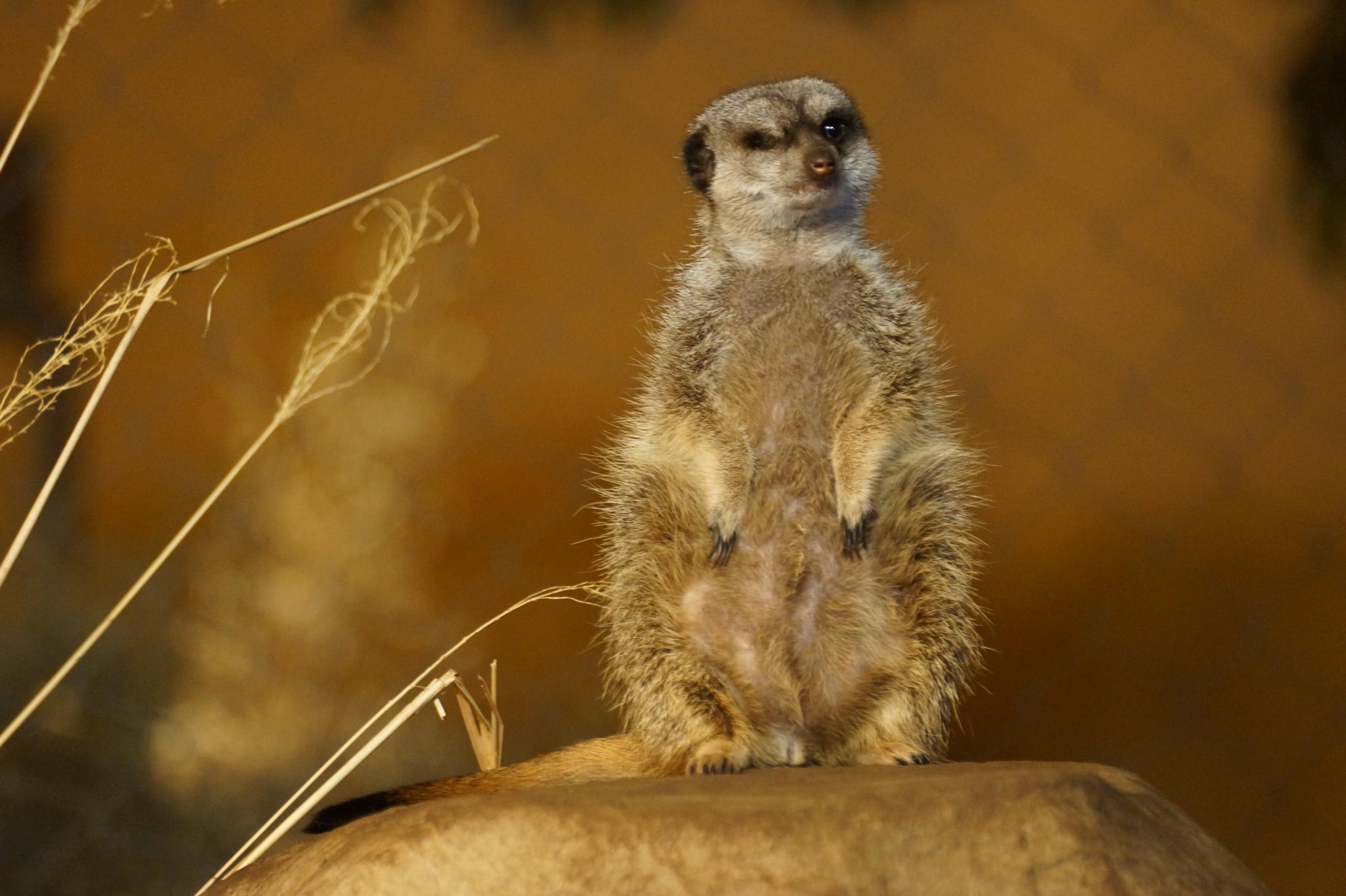 Photo in Animal #meerkat #brookfield zoo #african animal