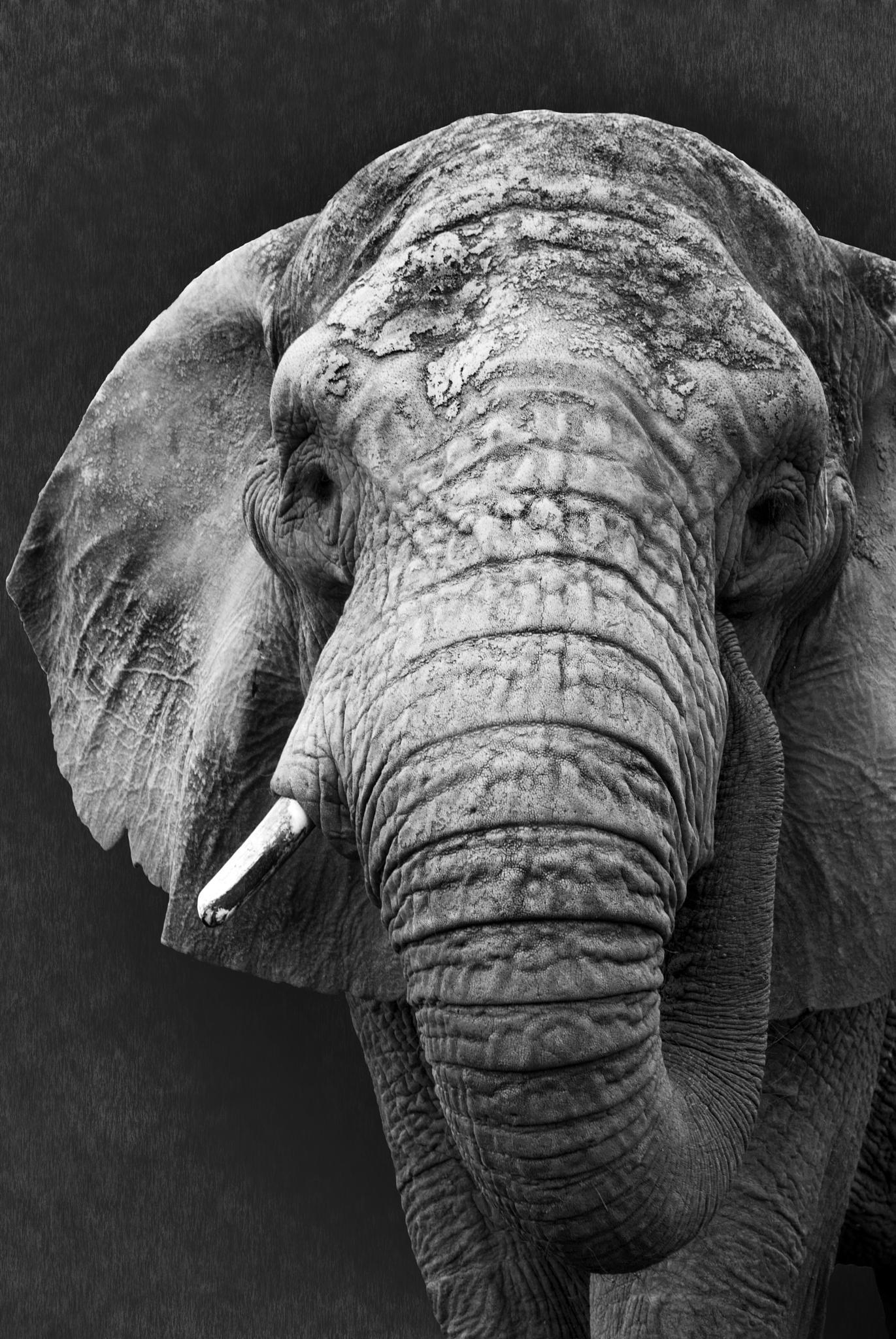 Elephant portrait by anna.phillips.7