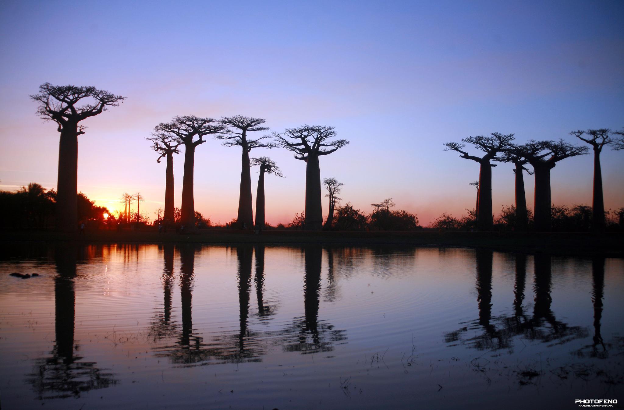 Allée de Baobab by Graphephoto