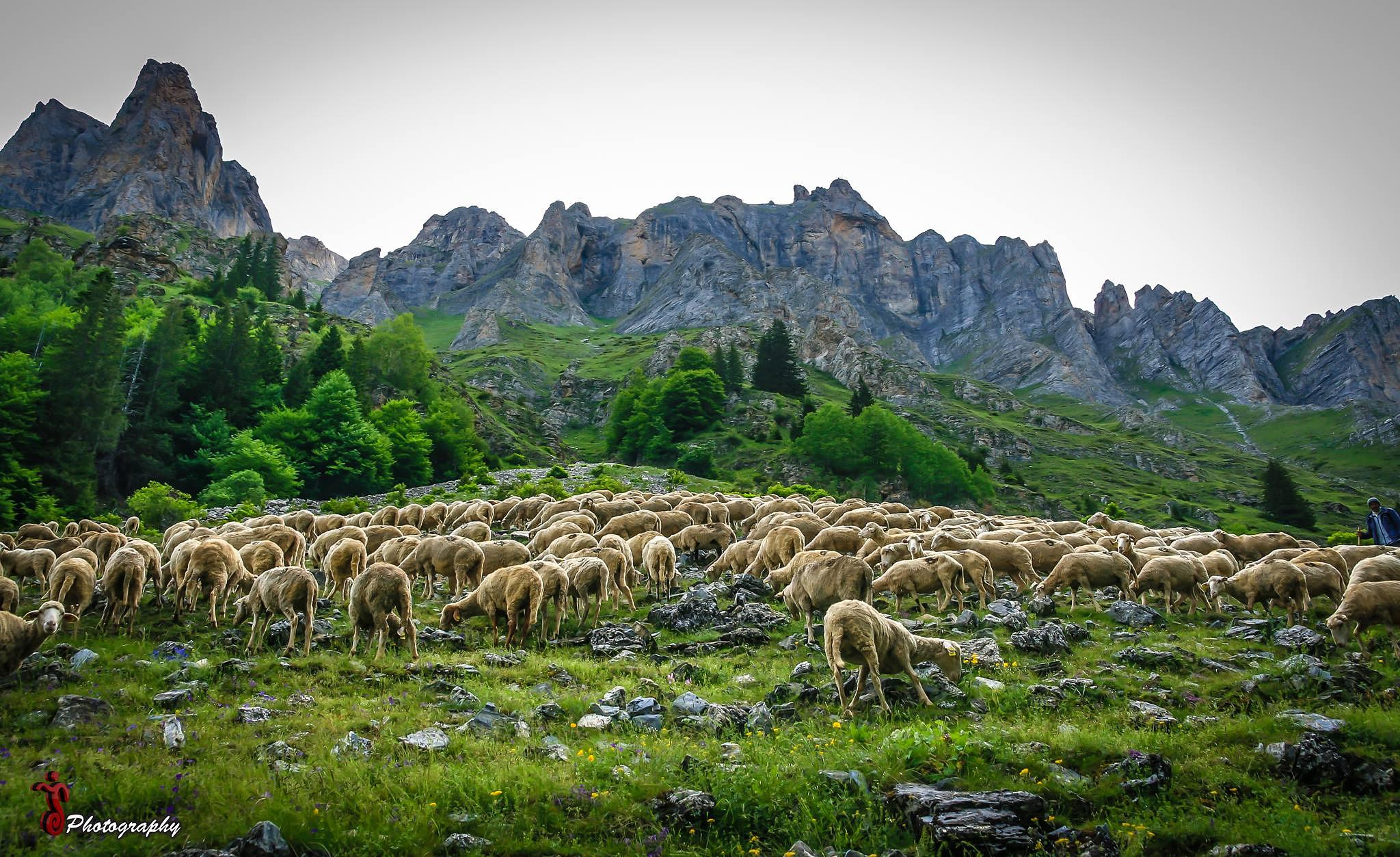 Photo in Animal #sheeps #animals #grass #landscape