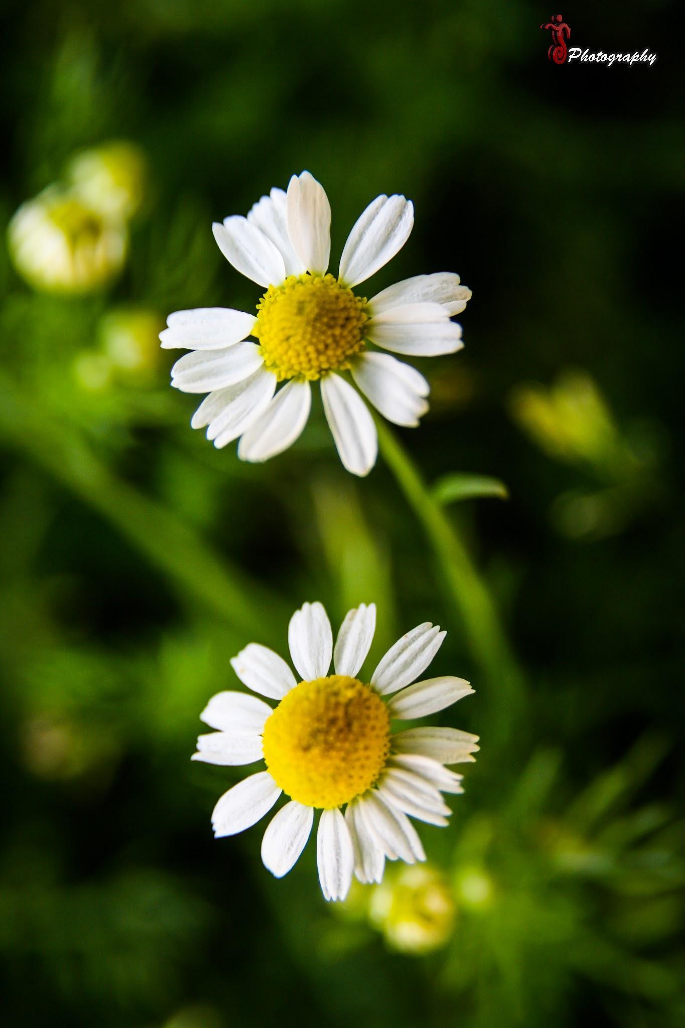 Photo in Macro #floswer #yellow #white #nature #macro