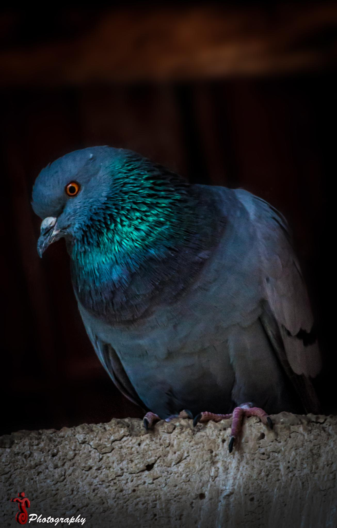 Photo in Animal #pigeon #nature #colors