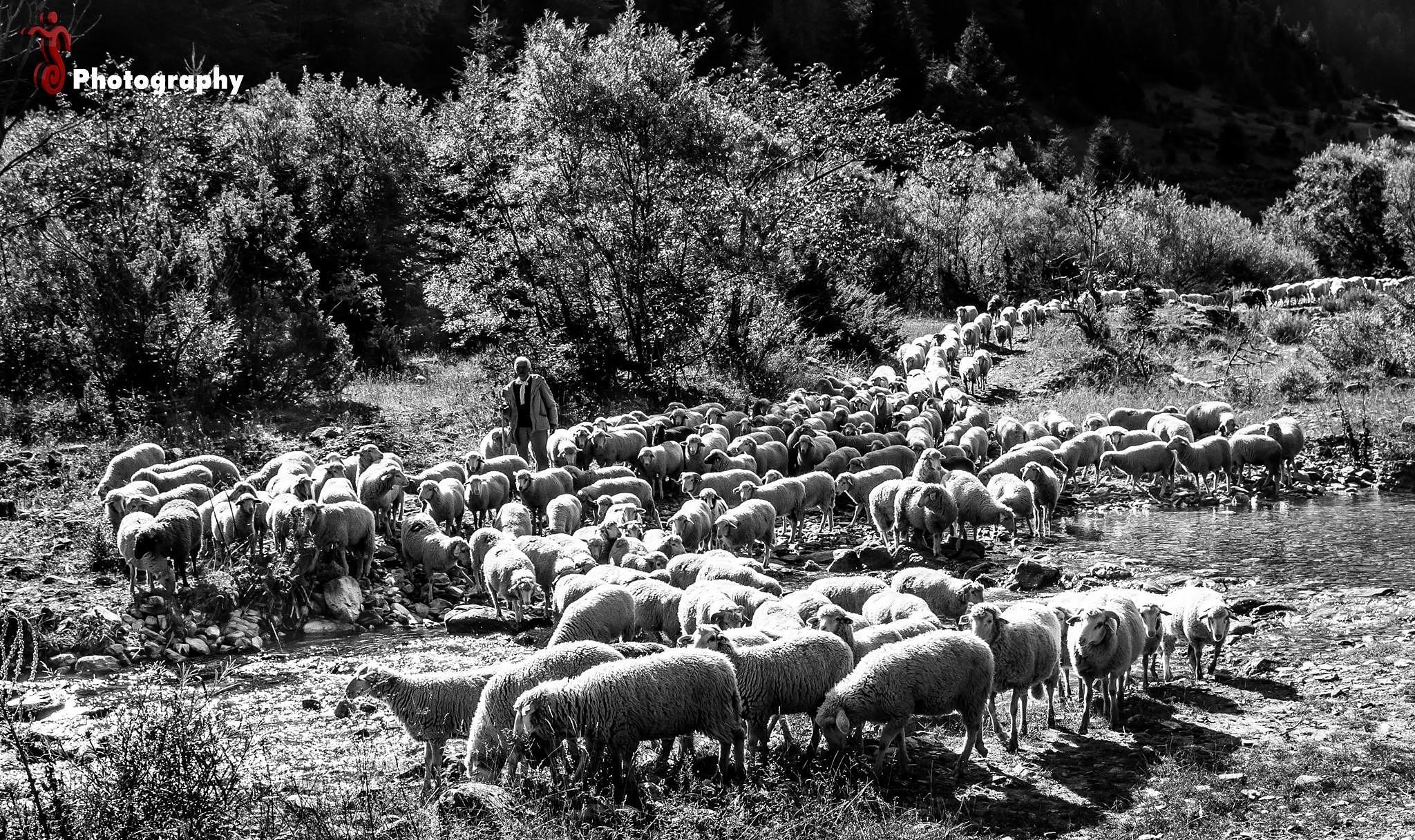 Sheeps by Jetmir Sejdia
