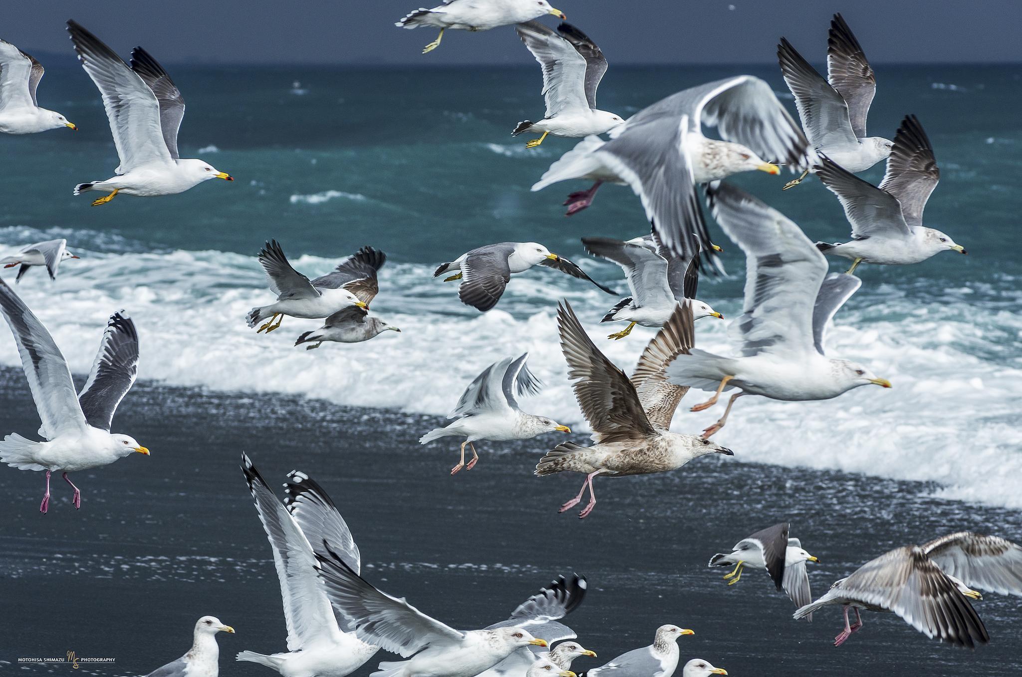 Photo in Animal #bird #animal #beach #summer #black‐tailed gull