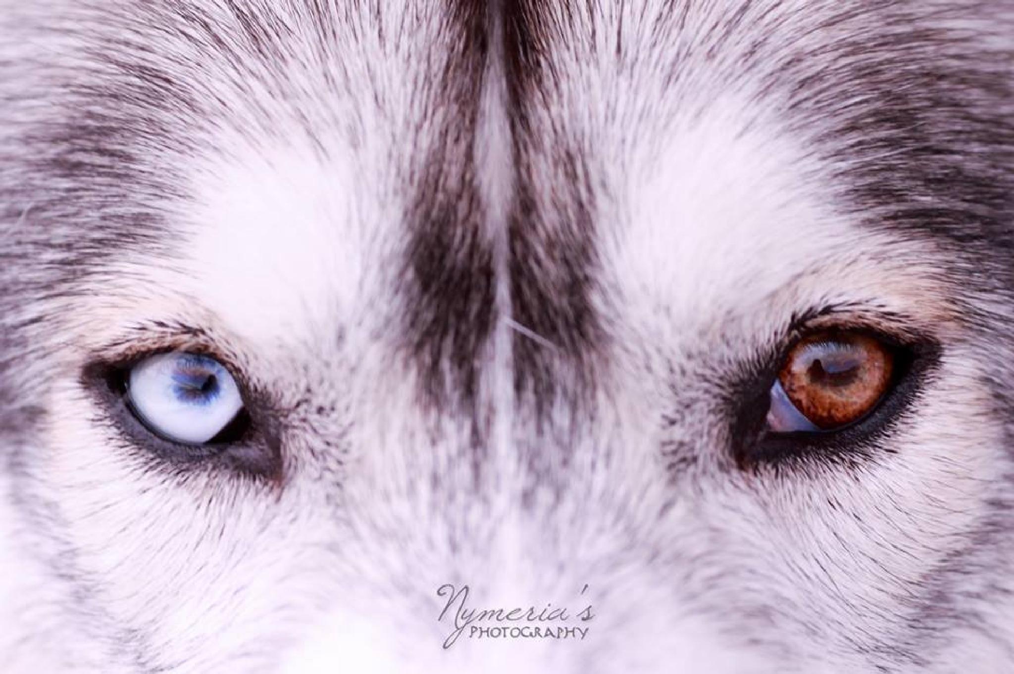Photo in Animal #siberian husky #wolf #husky eyes