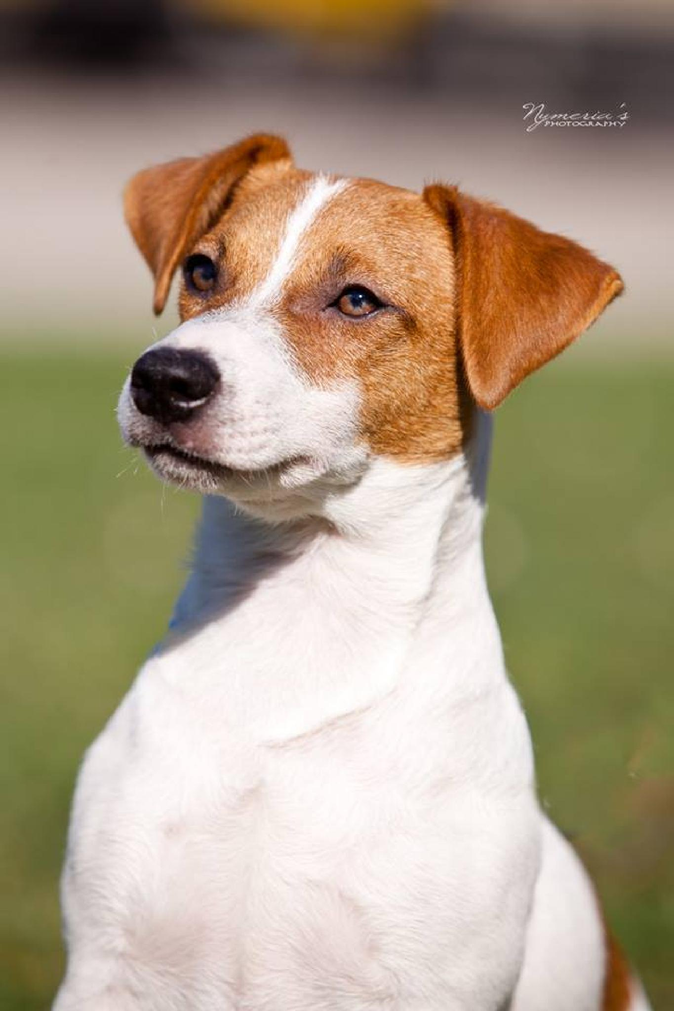 Photo in Animal #jack russell #dog portrait #pet #dog