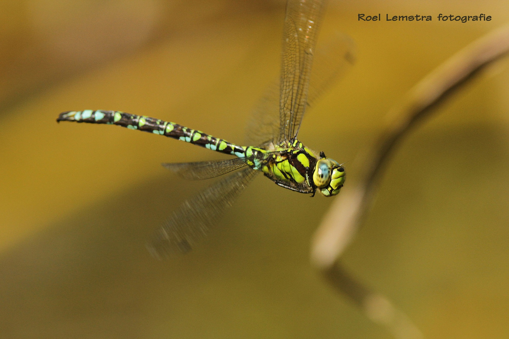 green hawker by roel.lemstra