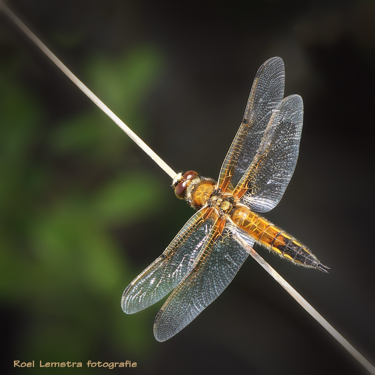 four-spotted chaser by roel.lemstra
