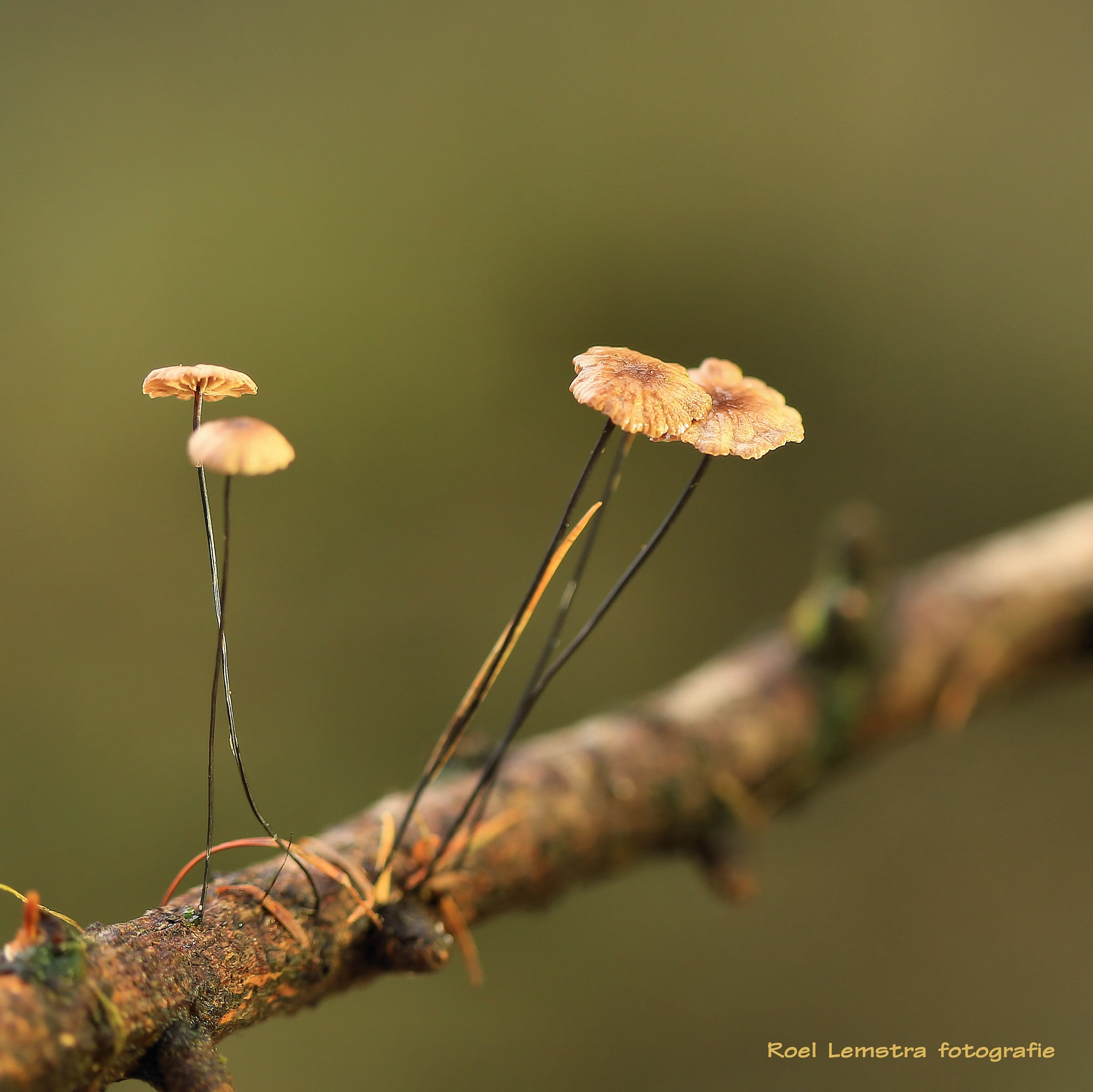 ... those tiny little mushrooms ..... by roel.lemstra