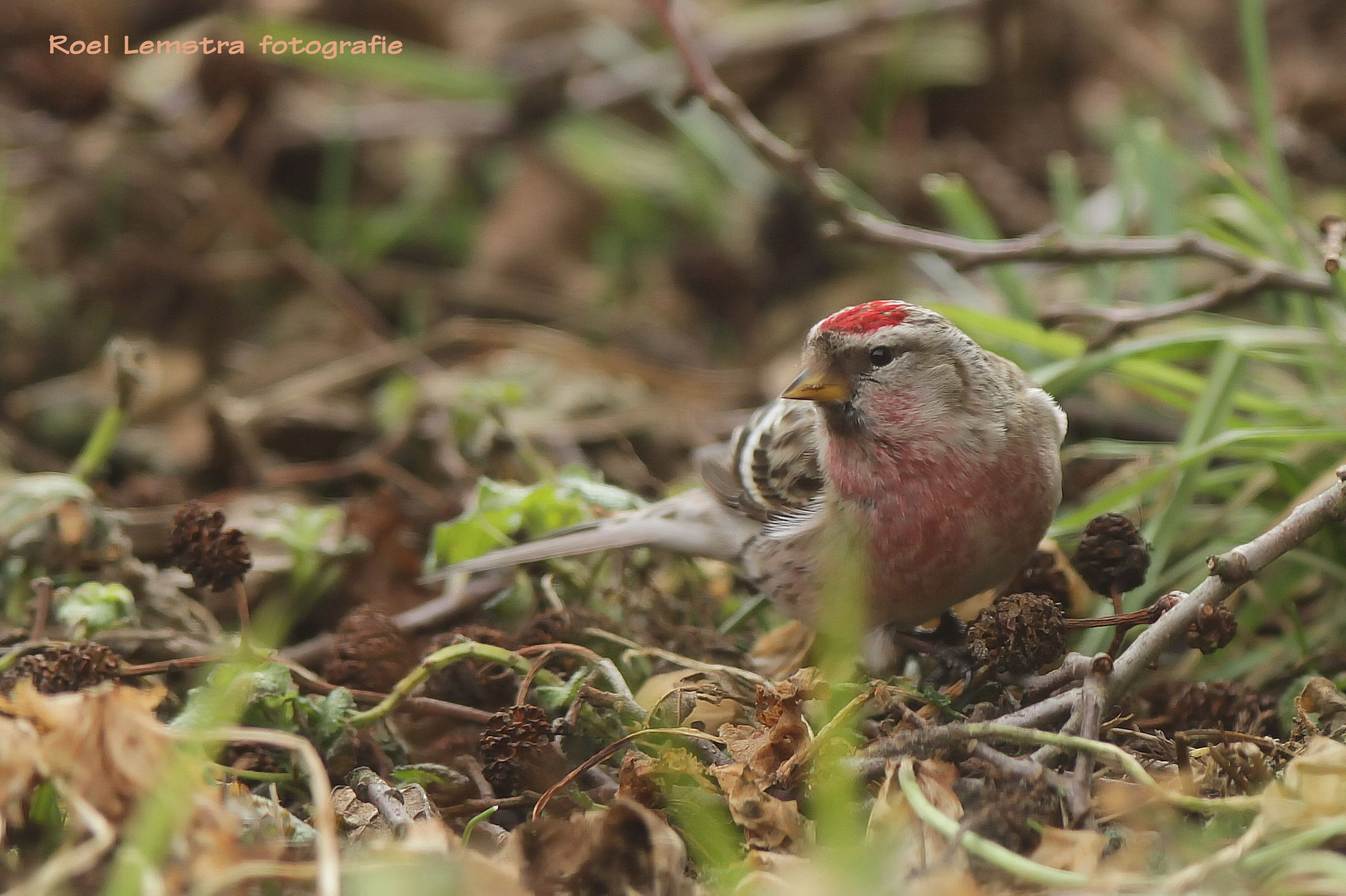 ... redpoll male ..... in our garden ... by roel.lemstra