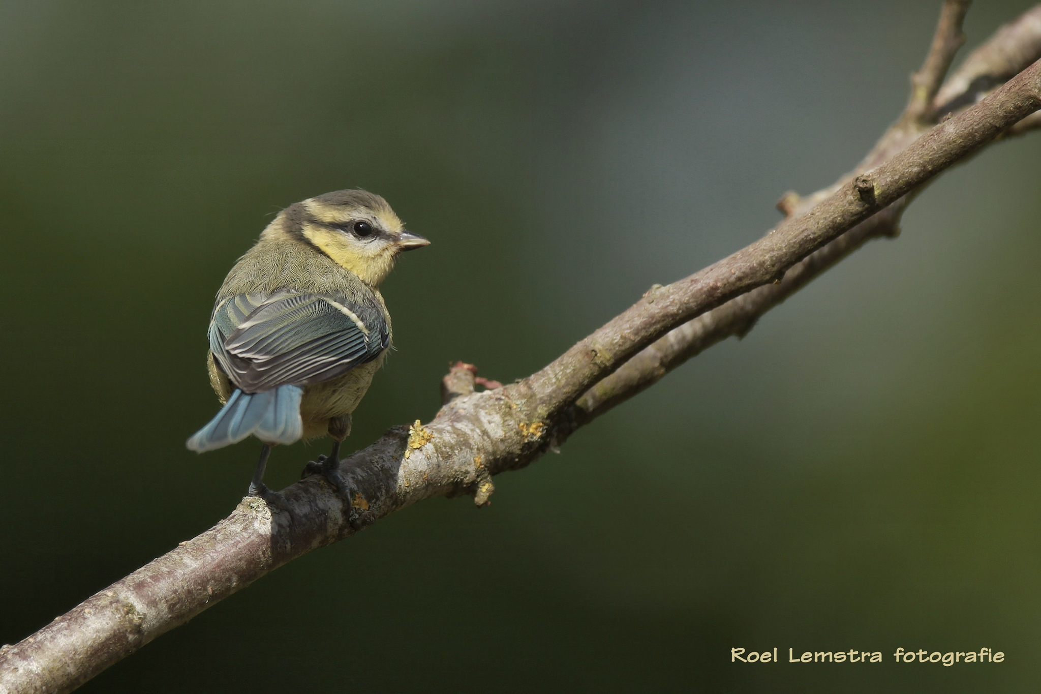 blue tit from this afternoon (juvenile) by roel.lemstra
