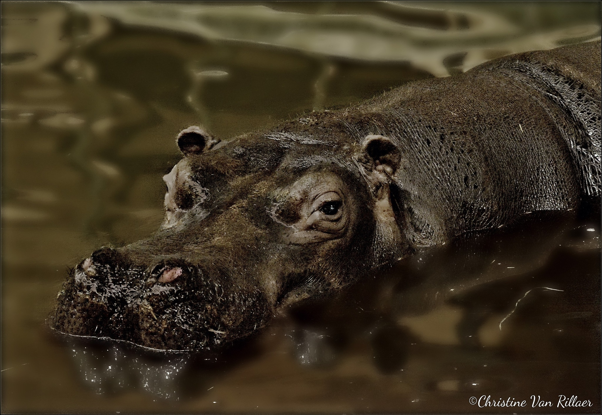Hippopotamus enjoying its swim by Chris