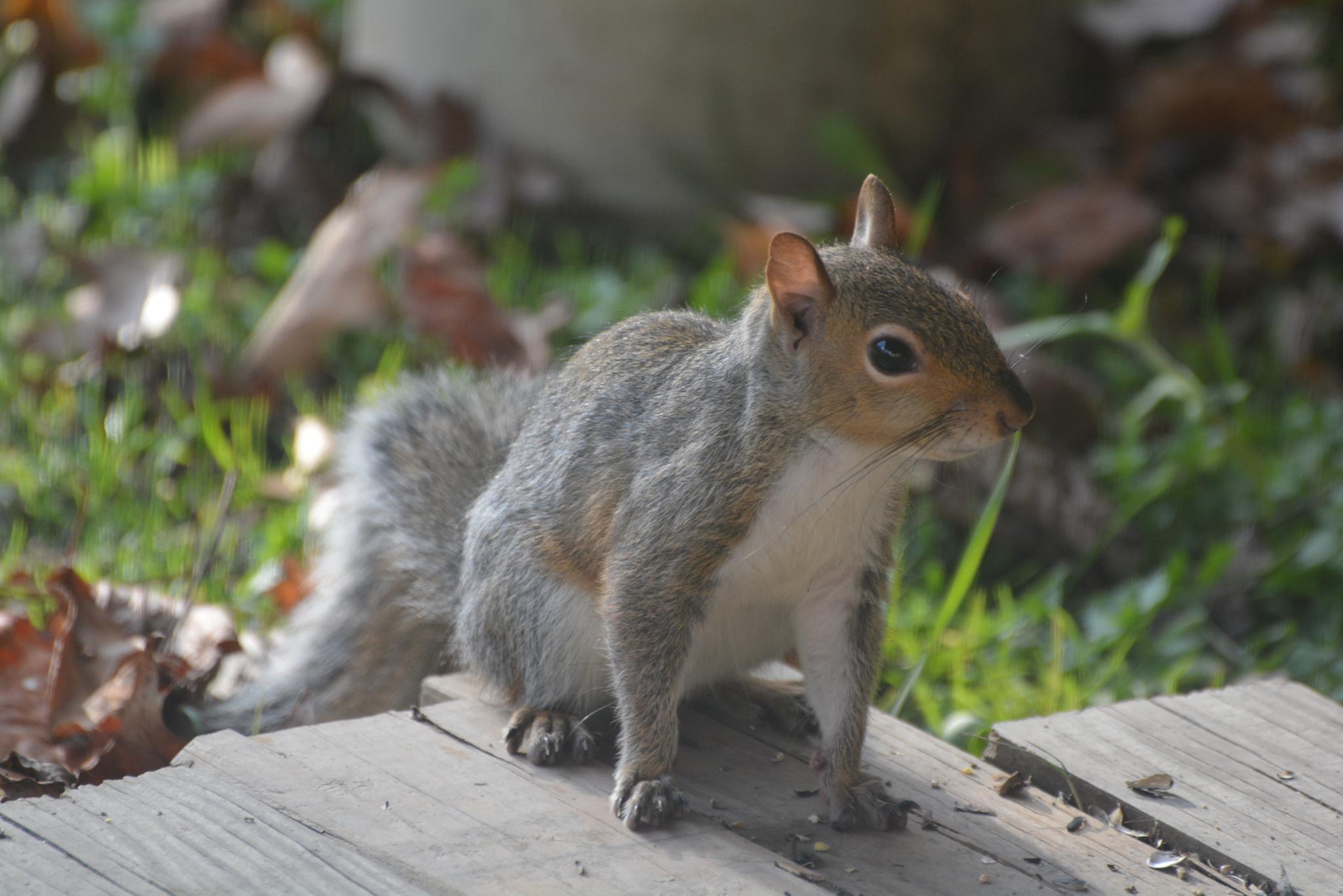 Mooching squirrel by Gingerjake2