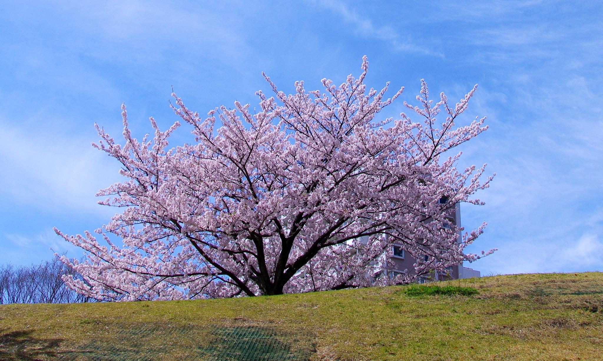 Cherry tree by kunihiko.yasuda.5
