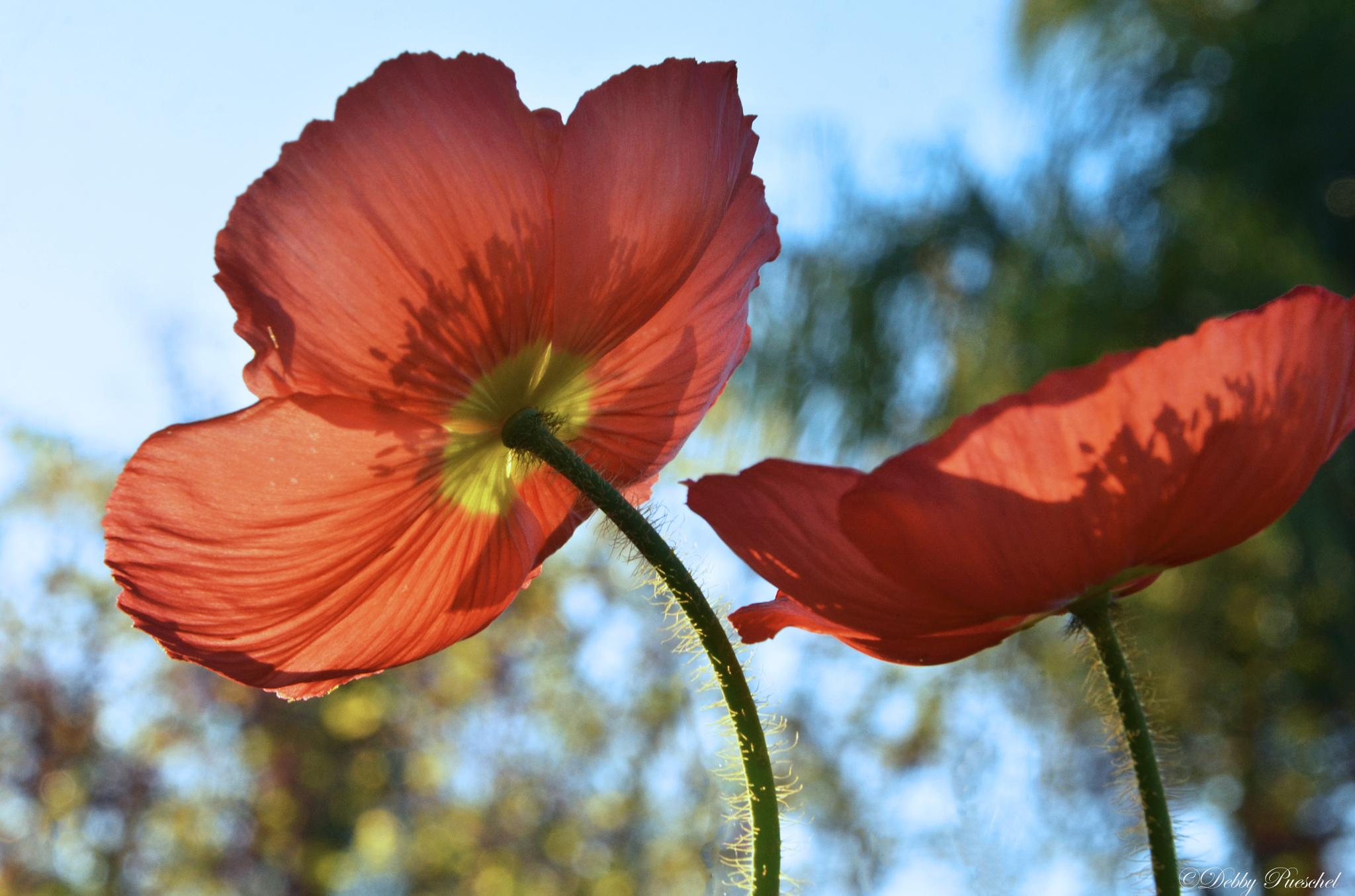 Poppies and Sky by Debby Pueschel