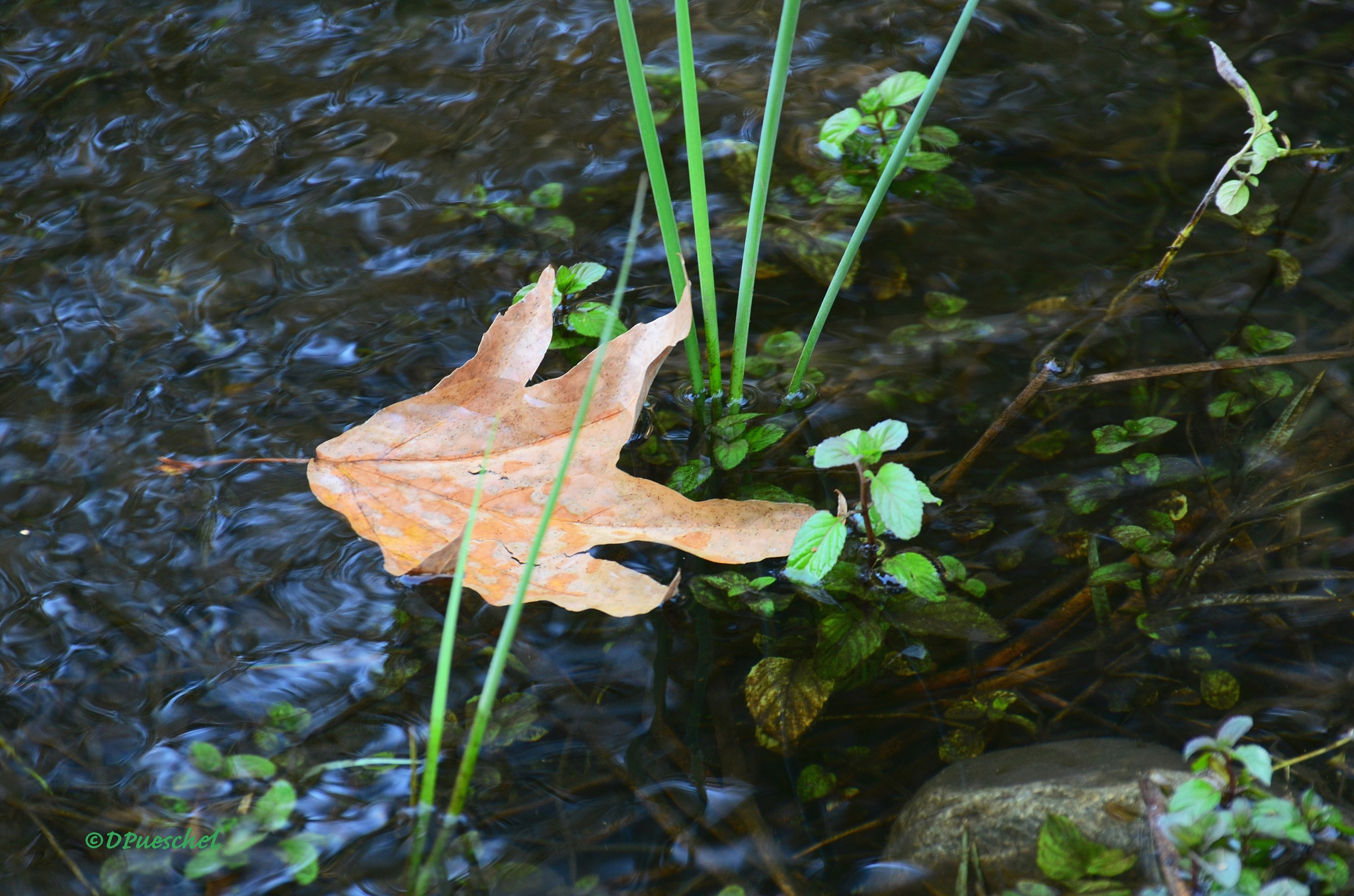 Floating Midst the Green by Debby Pueschel