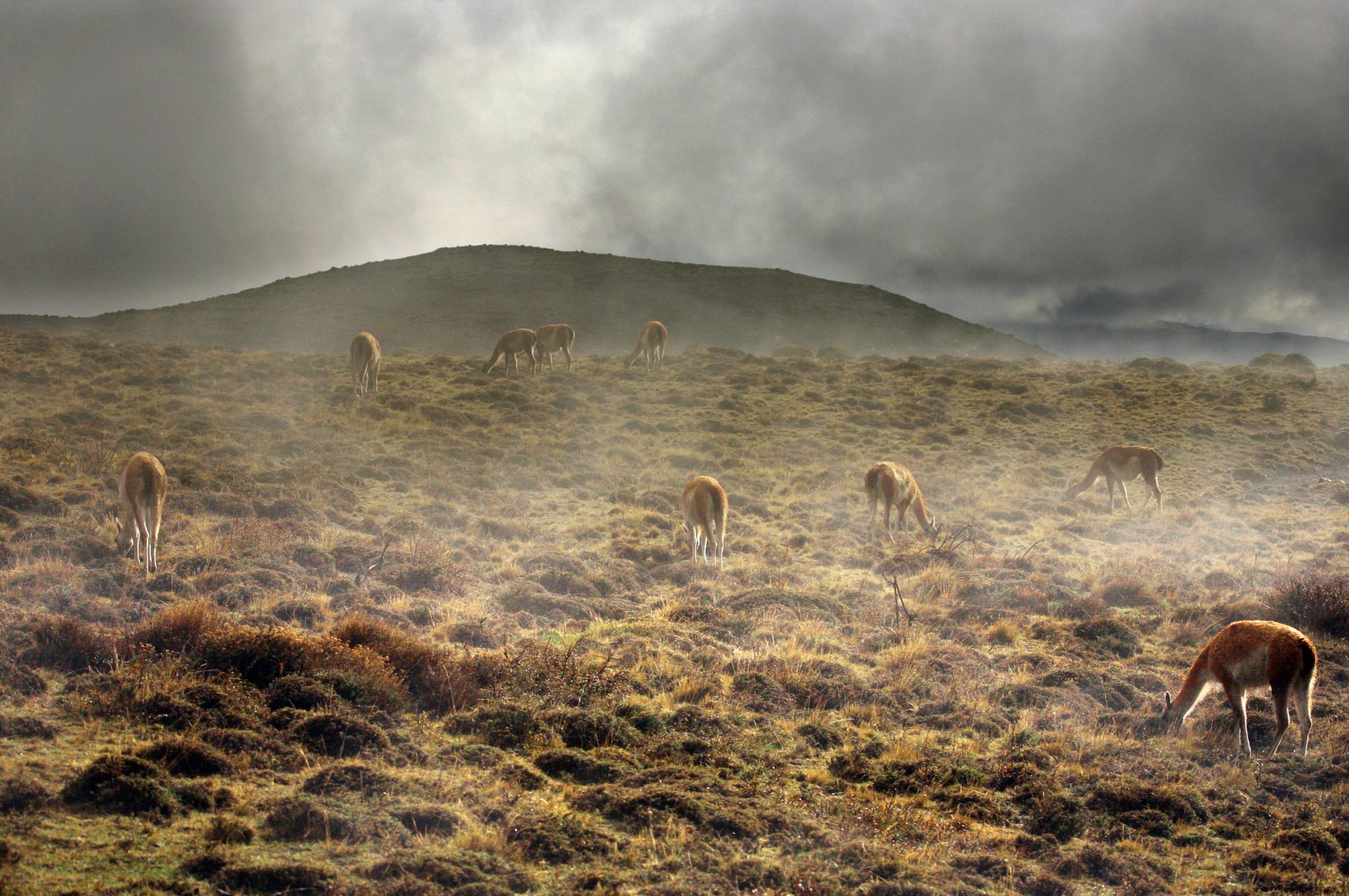 Guanacos in the fog by  Christian Kirk