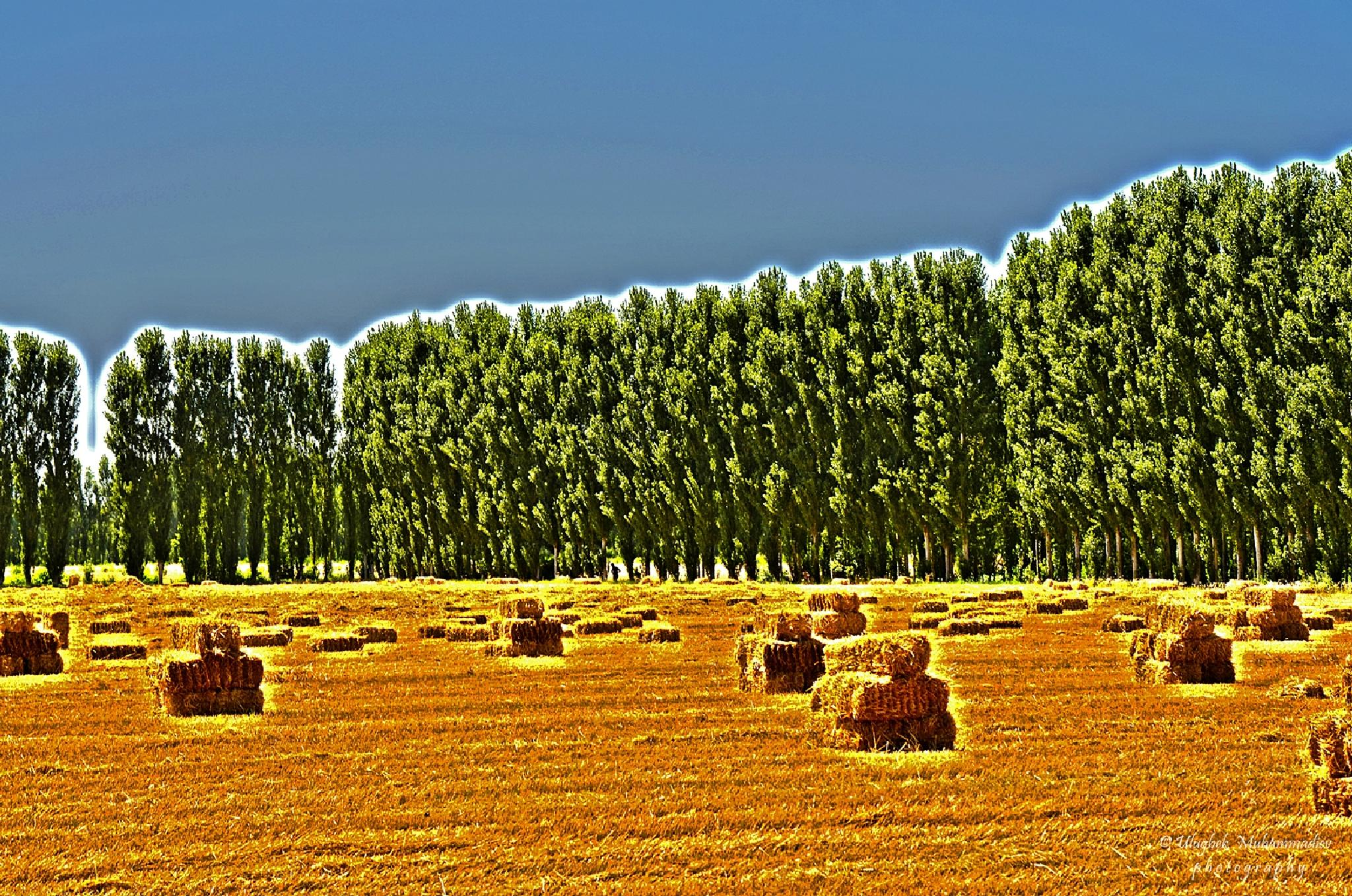 After the harvest ... by Ulugbek
