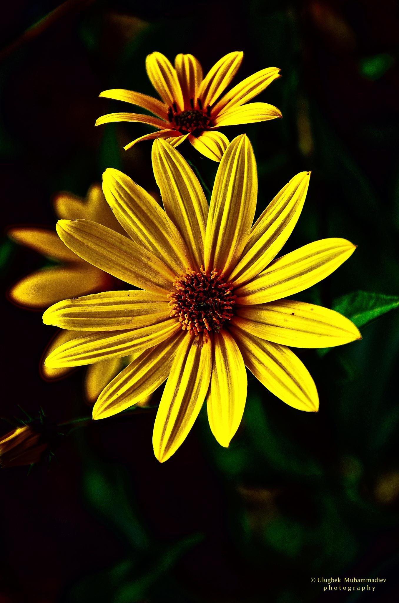 yellow flowers ... by Ulugbek