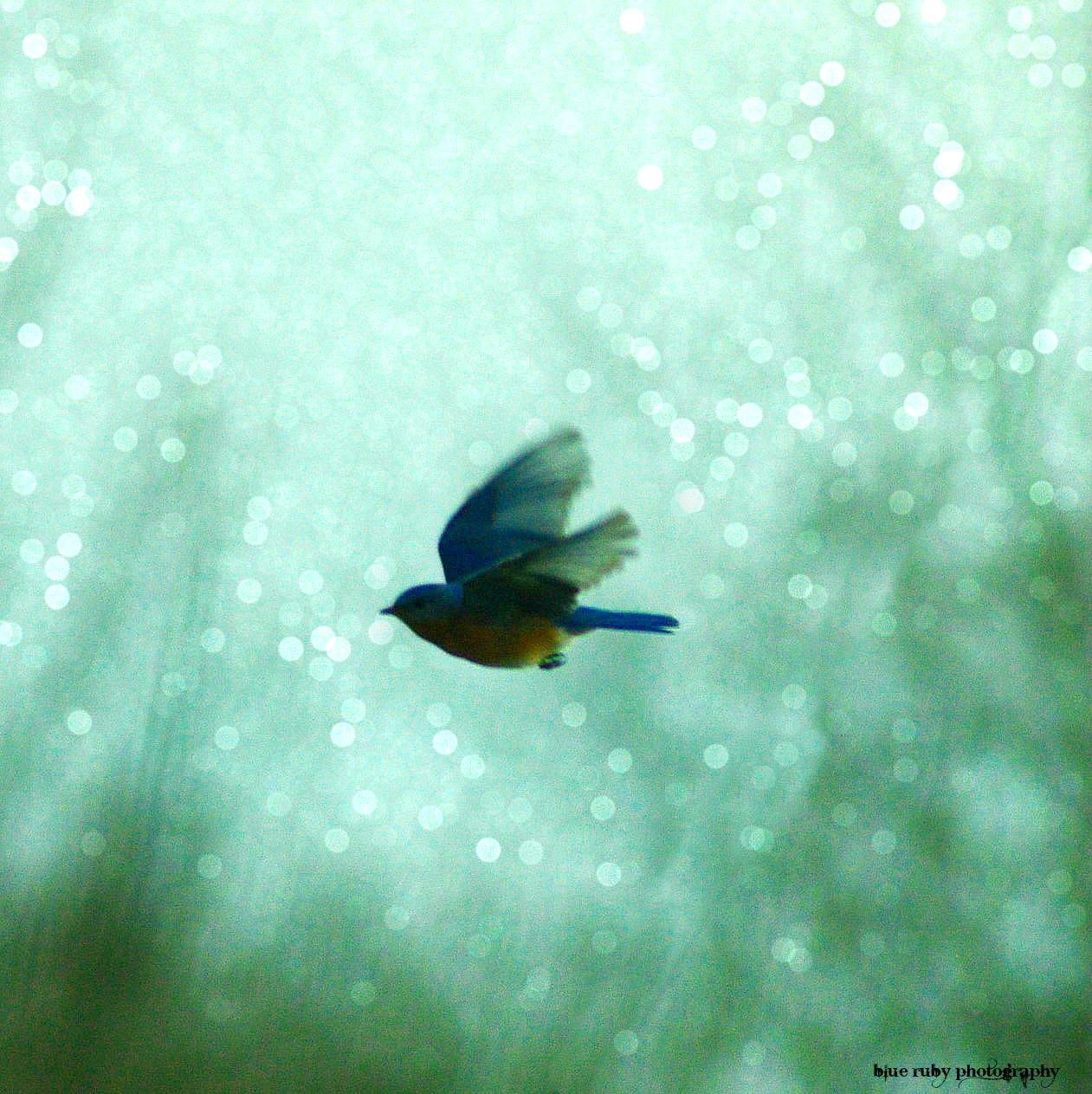 Eastern Bluebird by kim.sobol