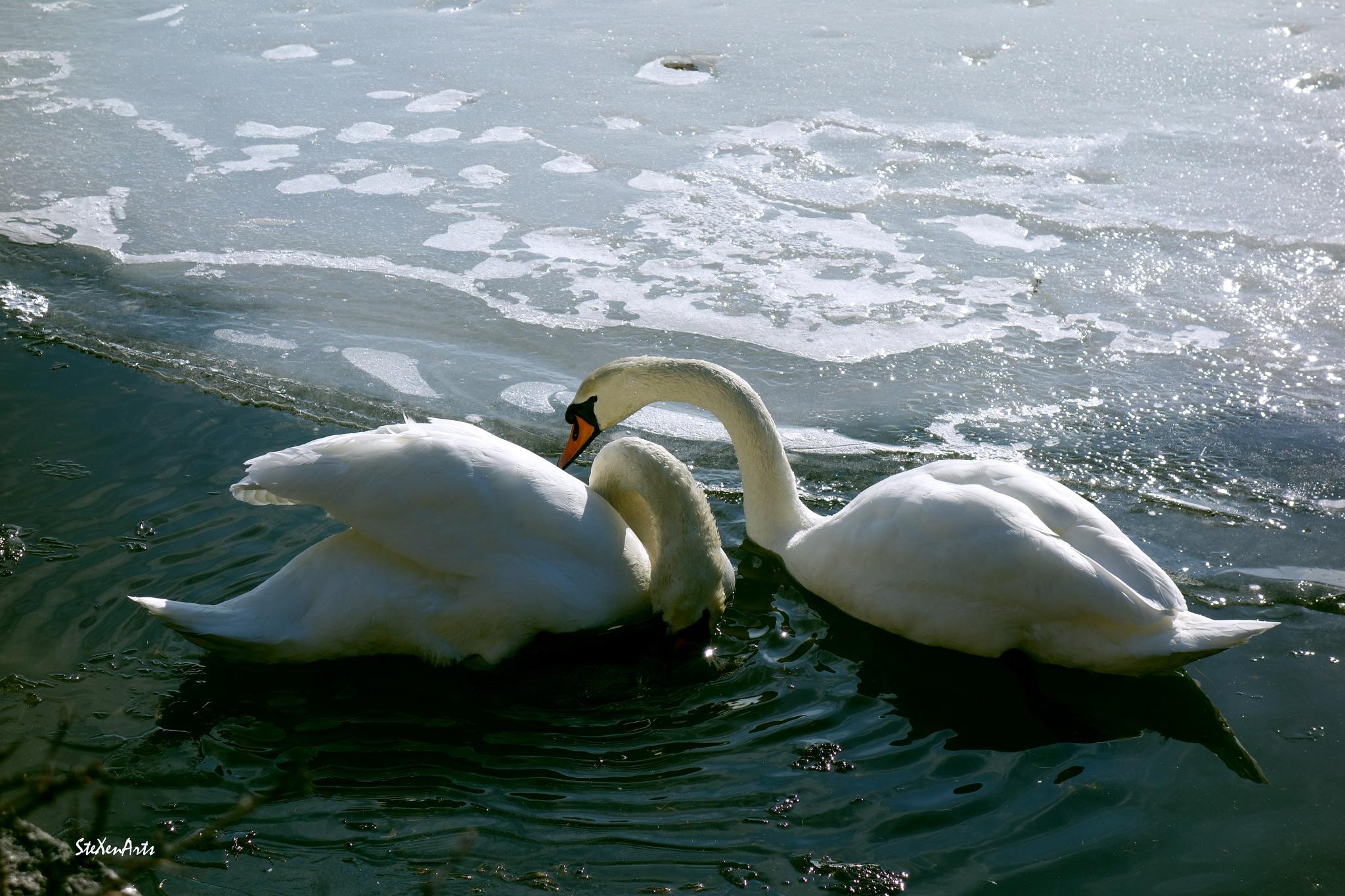 swan romance by Sanna