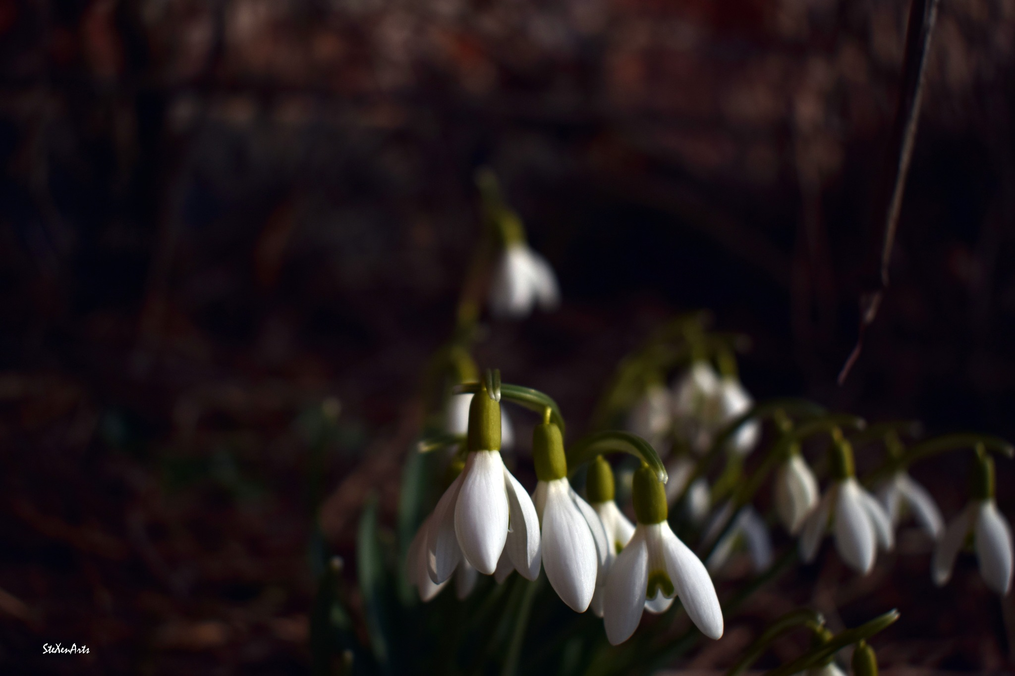 snowdrops by Sanna