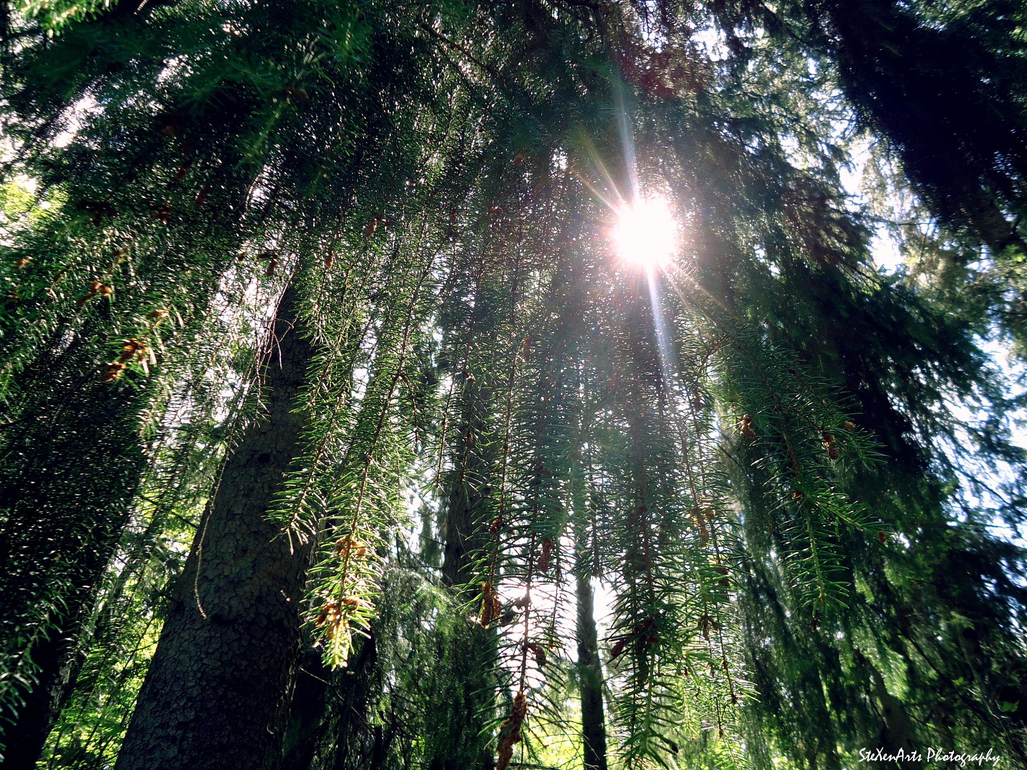 spruce by SteXenArts Photography