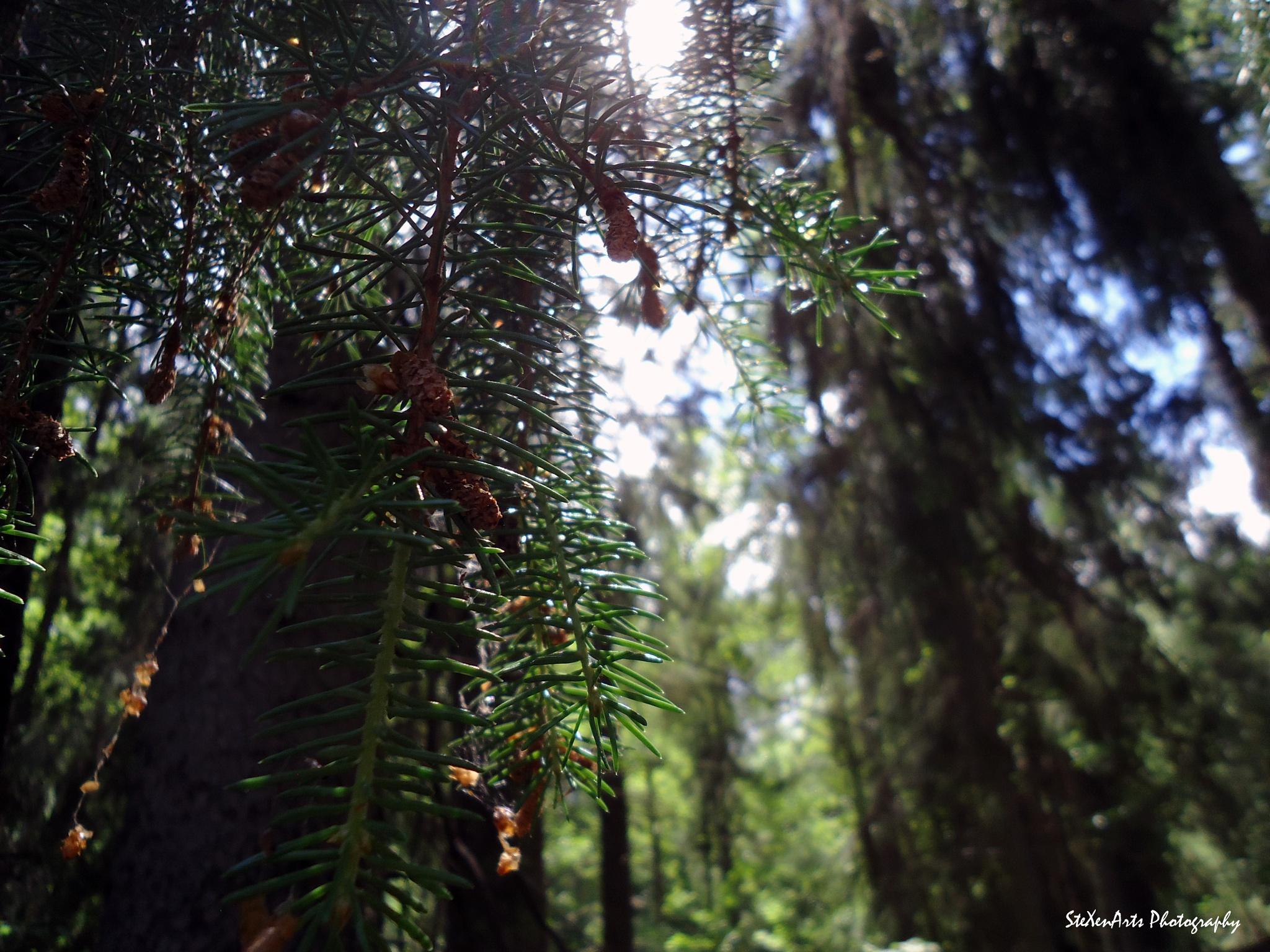 spruce - take 2 by SteXenArts Photography