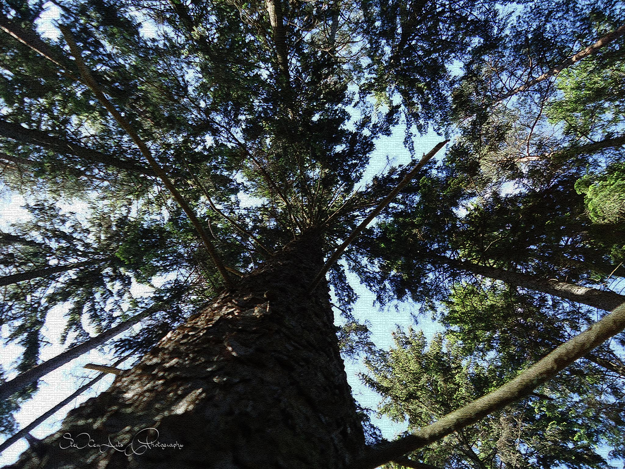 up the pine by Sanna