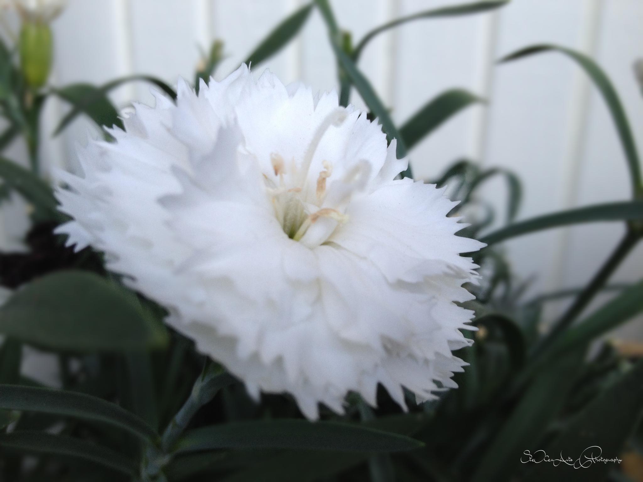 white carnation by Sanna